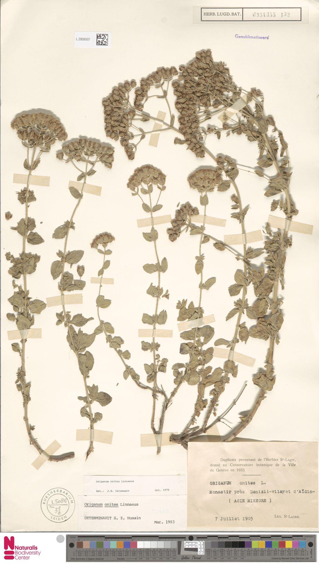 L.2856507   Origanum onites L.