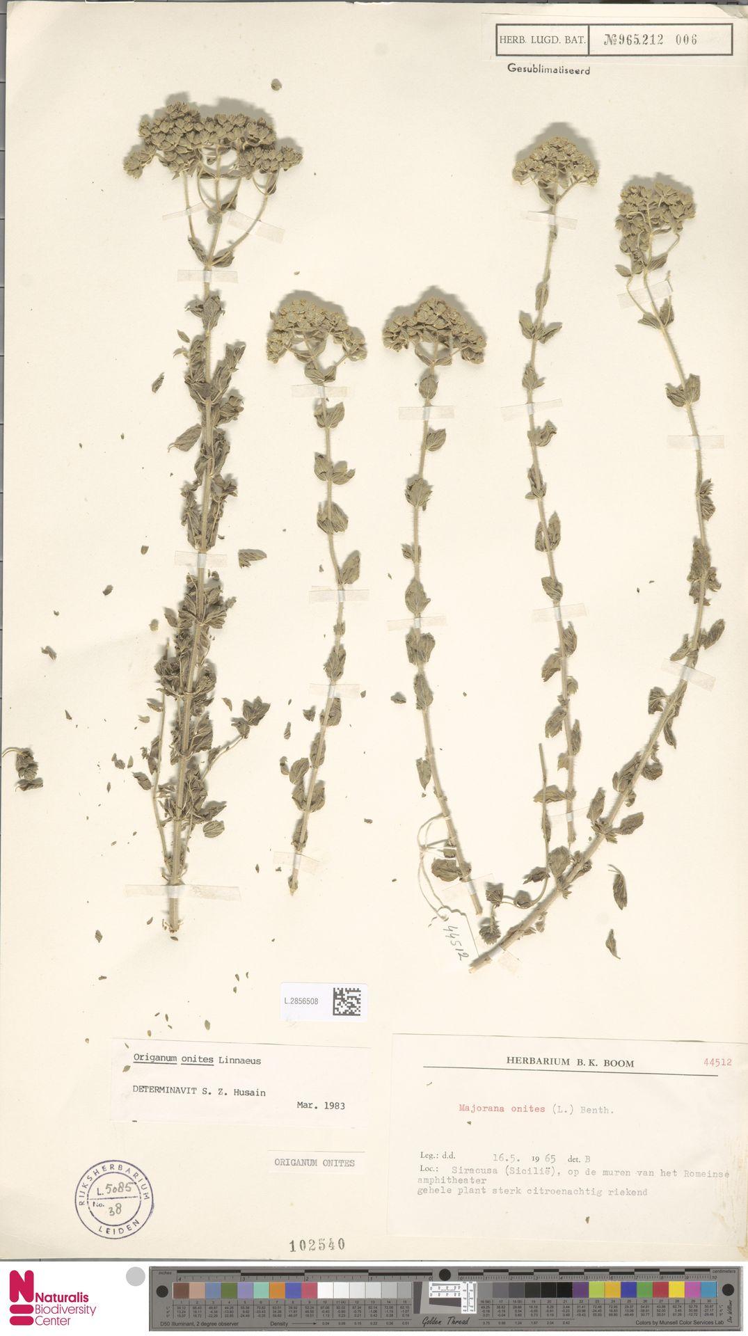 L.2856508 | Origanum onites L.