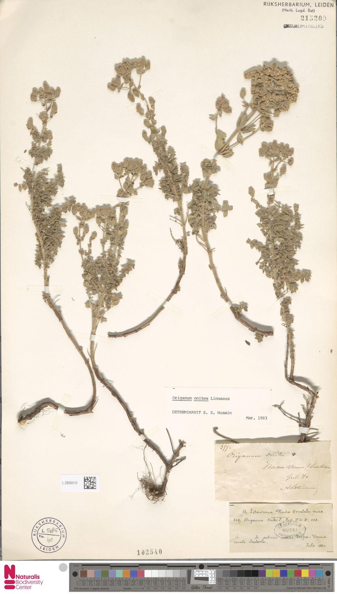 L.2856510 | Origanum onites L.
