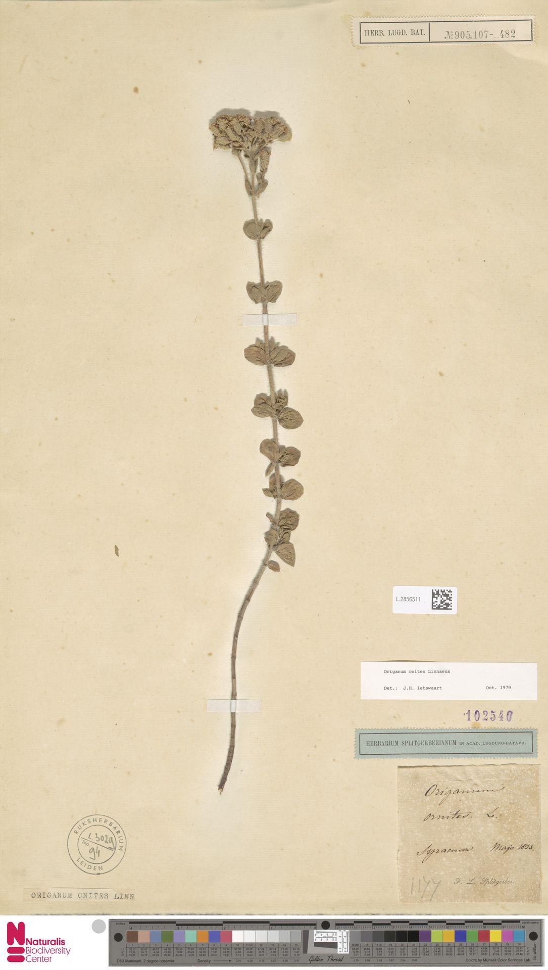 L.2856511   Origanum onites L.