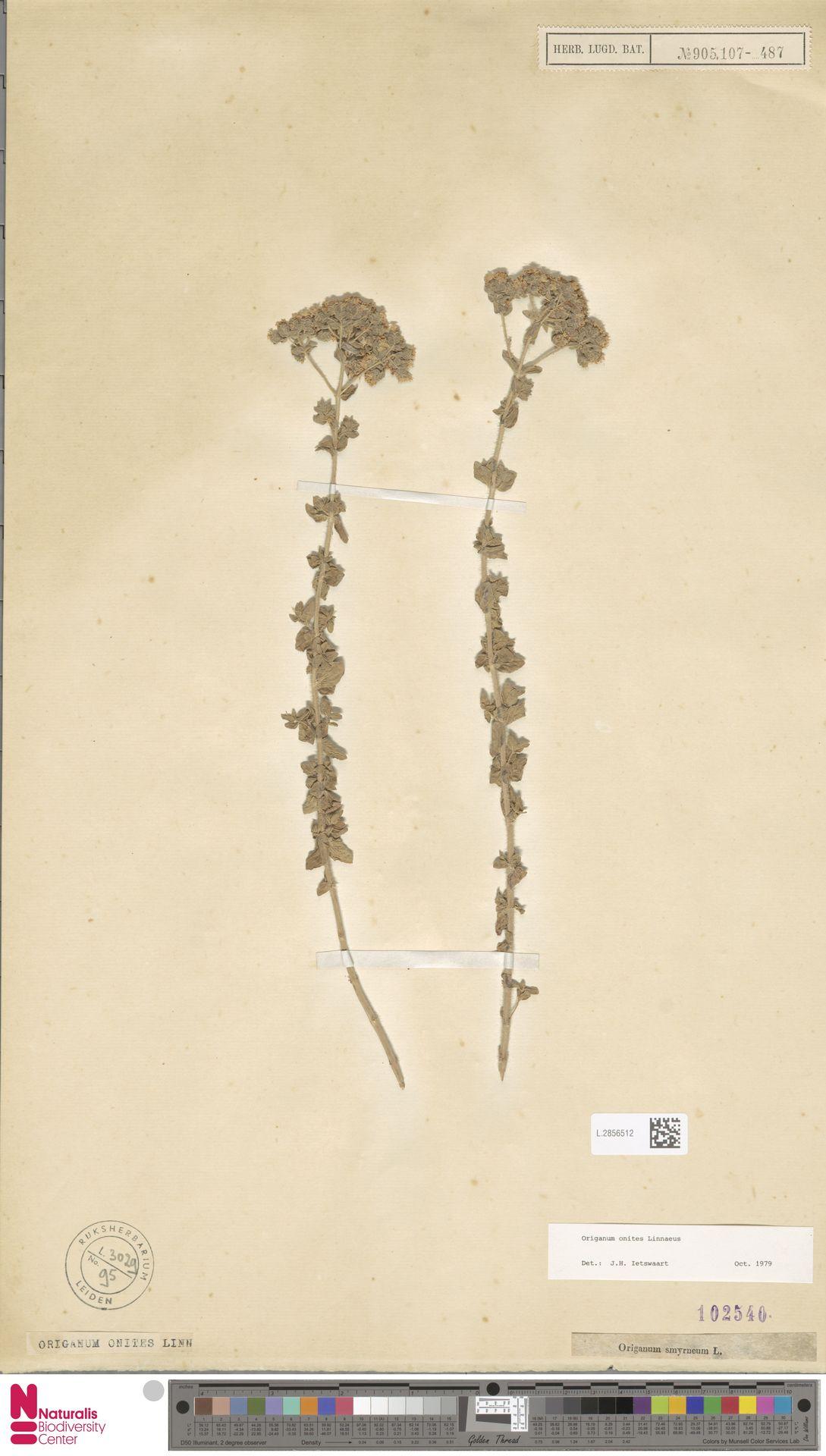L.2856512   Origanum onites L.