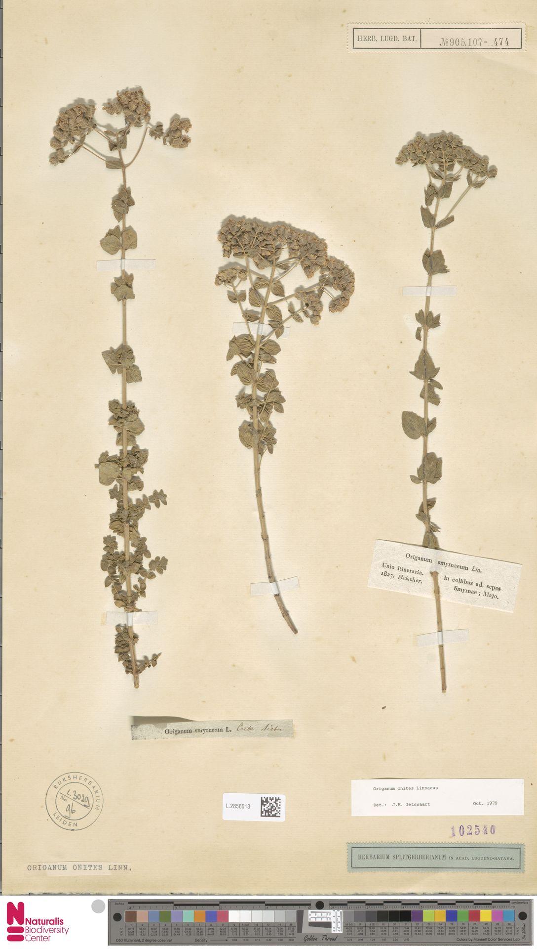 L.2856513 | Origanum onites L.