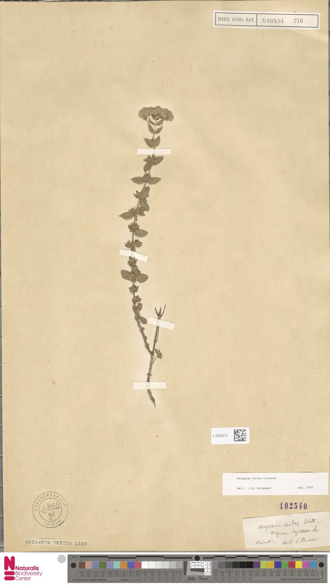 L.2856514 | Origanum onites L.