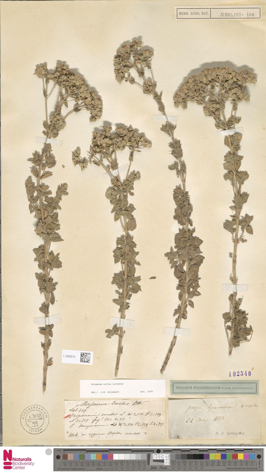L.2856515   Origanum onites L.