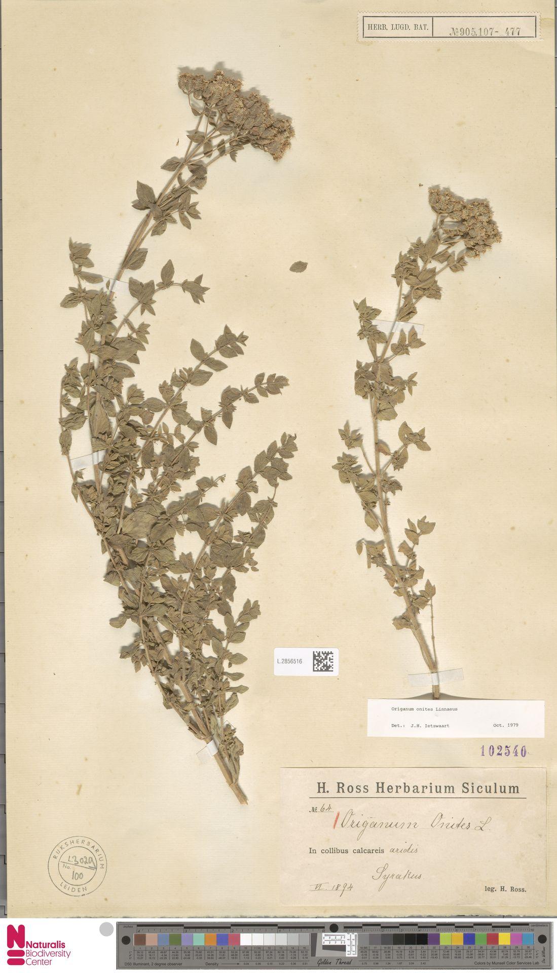 L.2856516 | Origanum onites L.