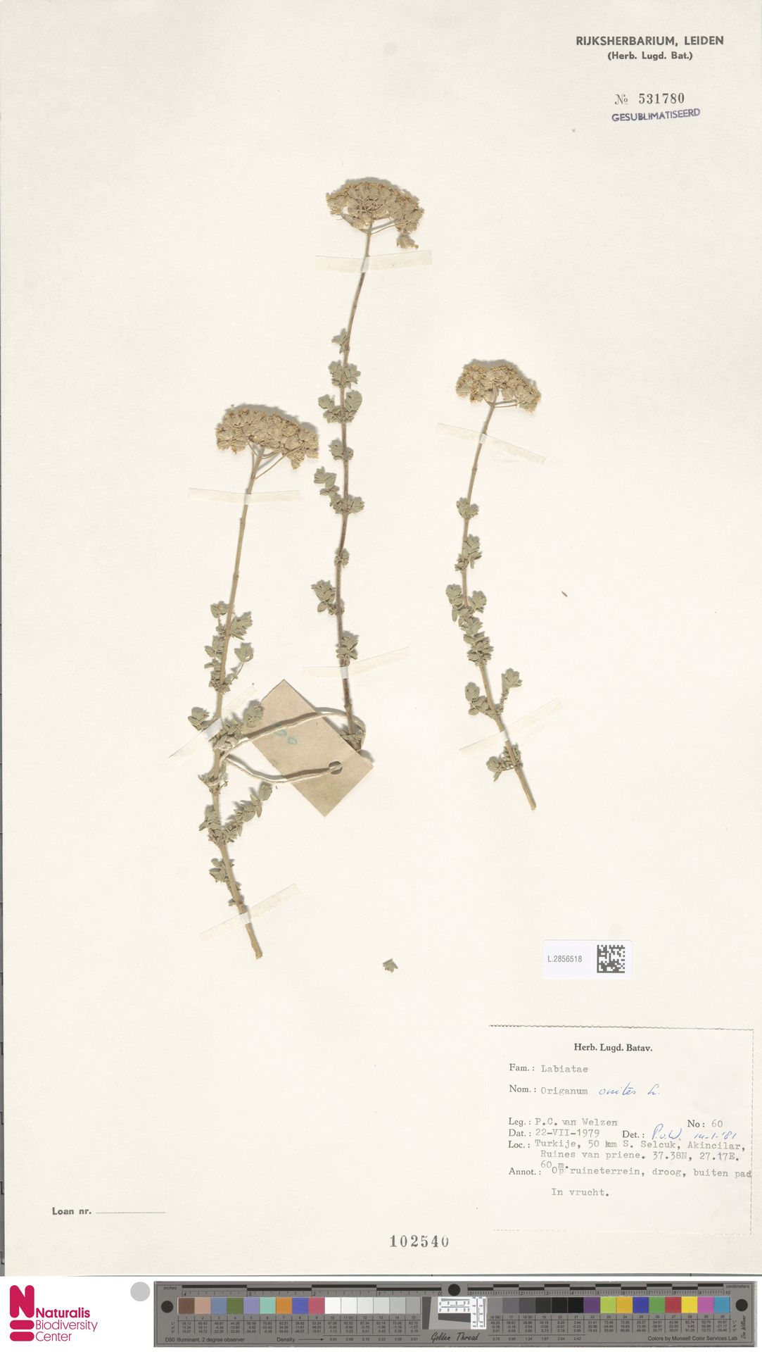 L.2856518   Origanum onites L.