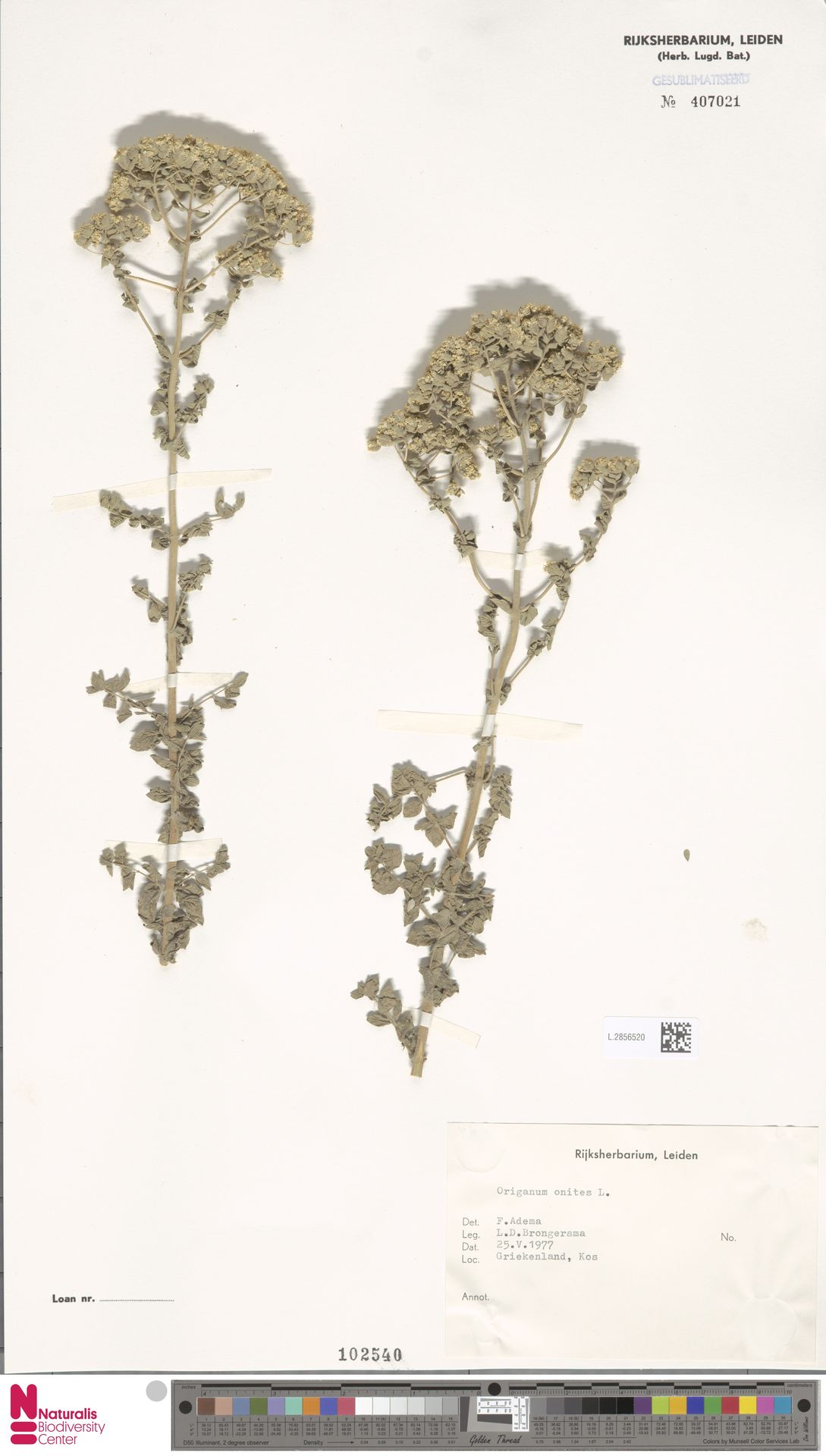 L.2856520 | Origanum onites L.