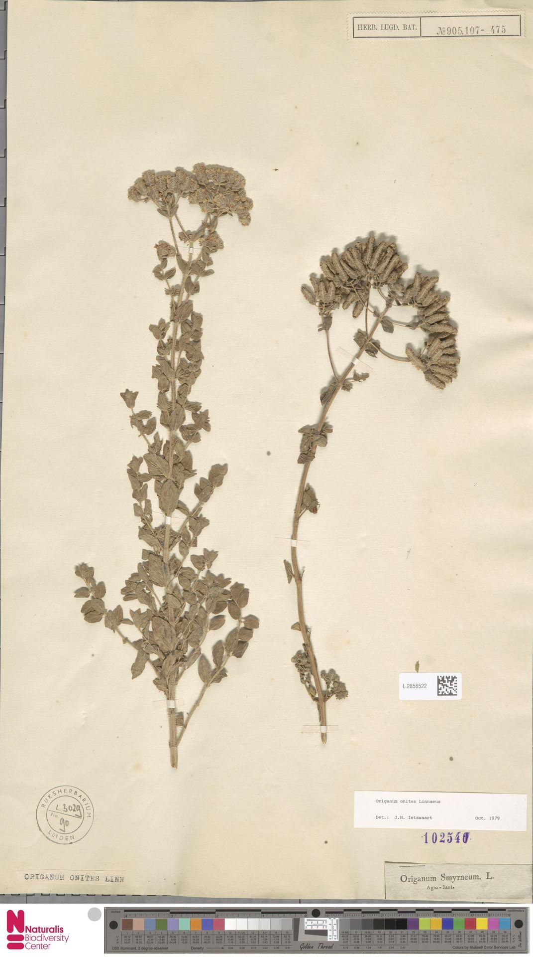 L.2856522   Origanum onites L.