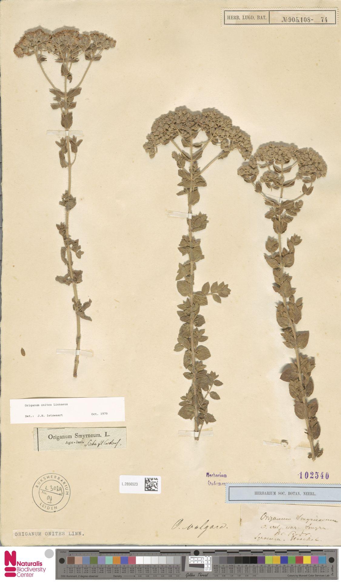 L.2856523   Origanum onites L.