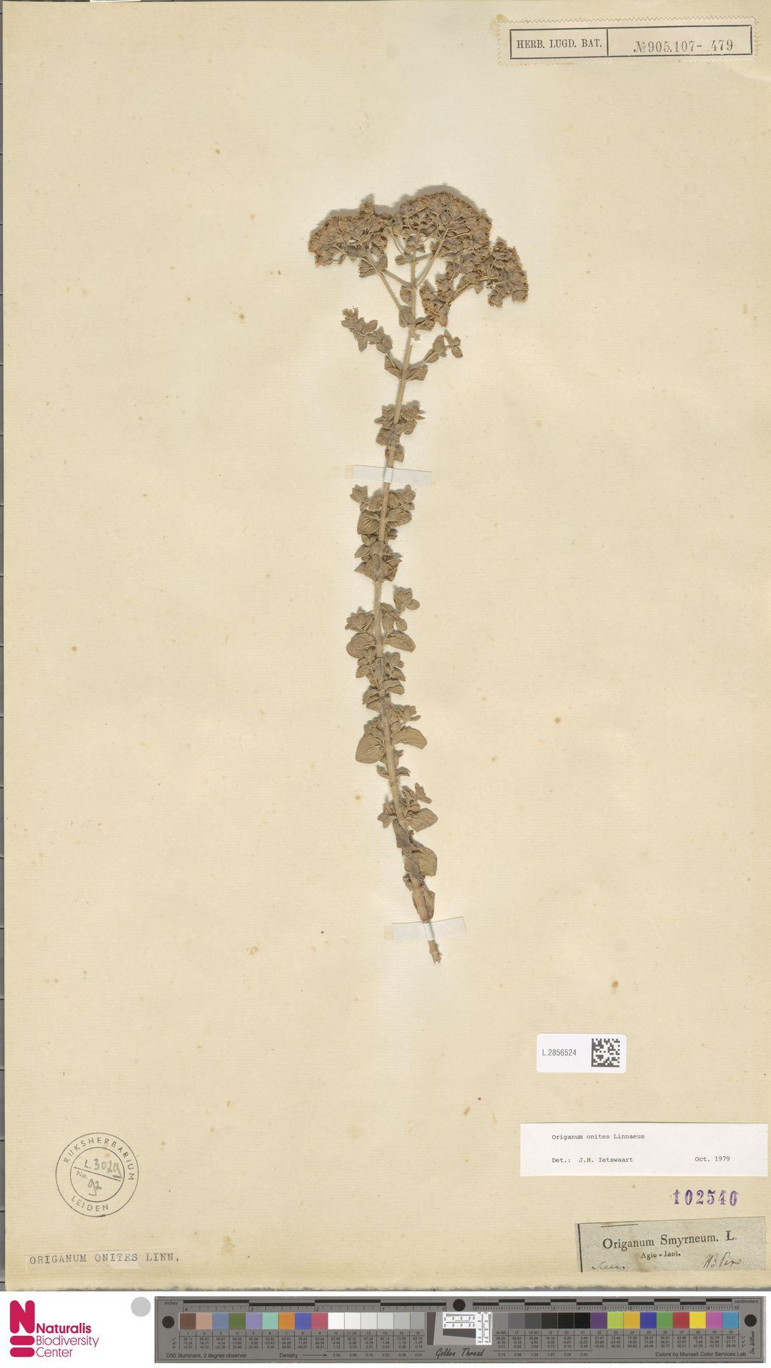 L.2856524 | Origanum onites L.