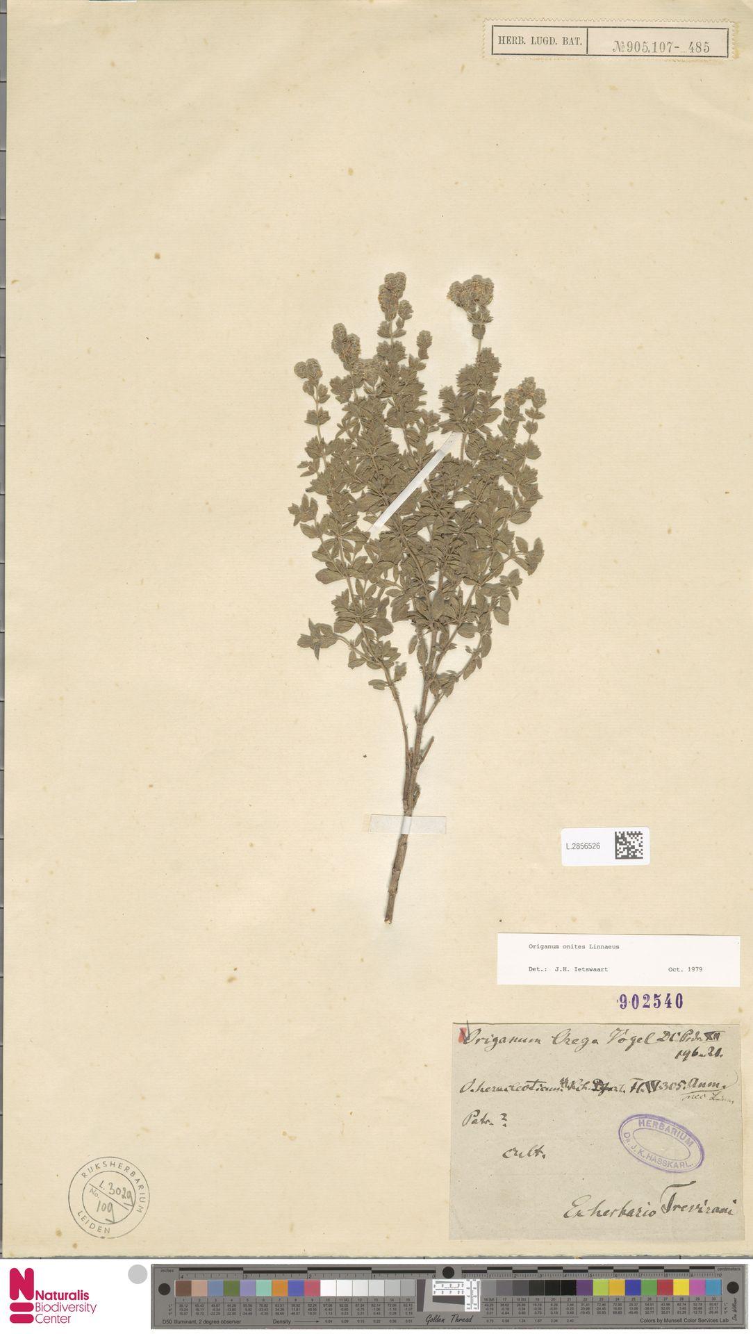 L.2856526 | Origanum onites L.