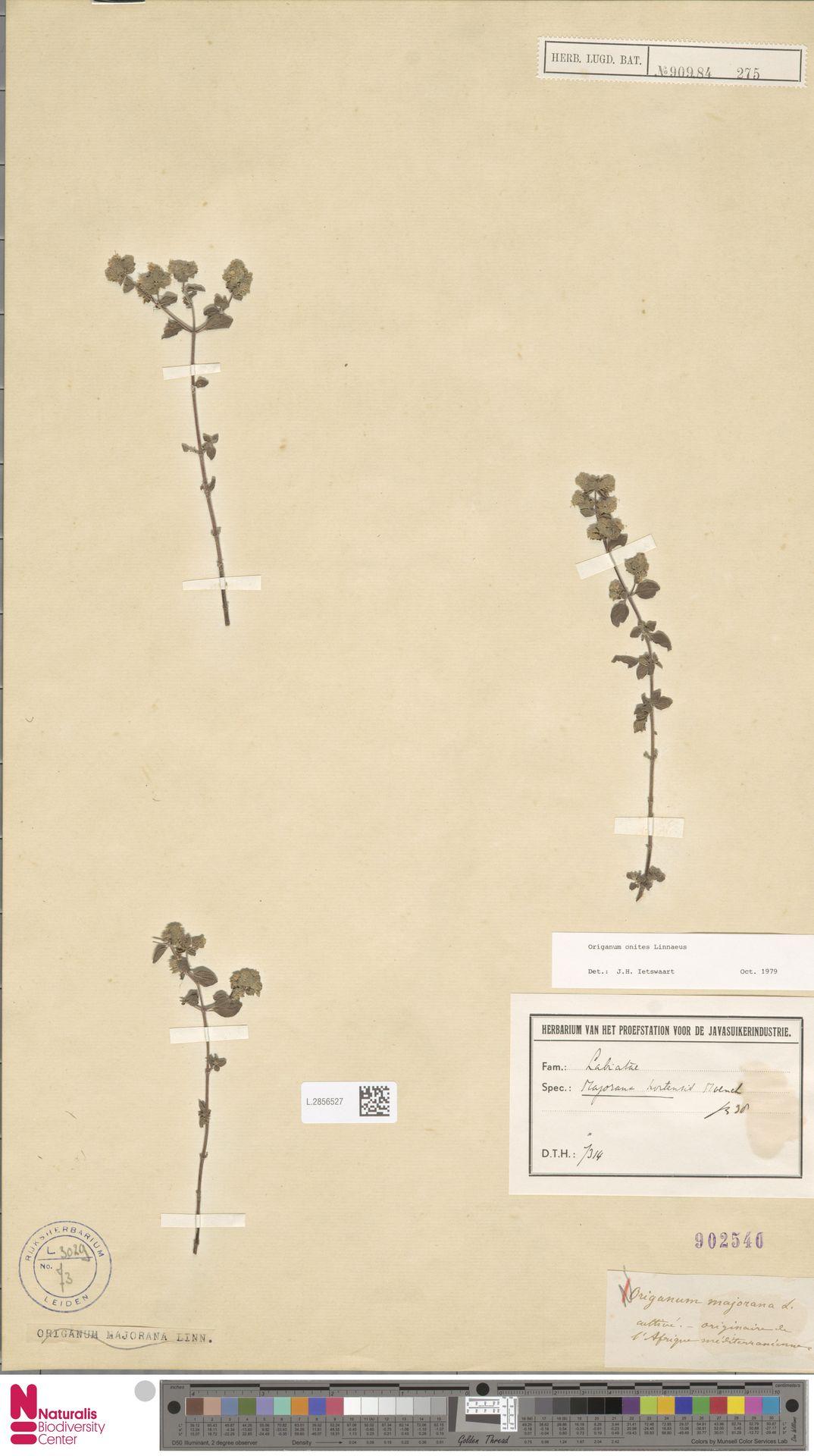 L.2856527 | Origanum onites L.