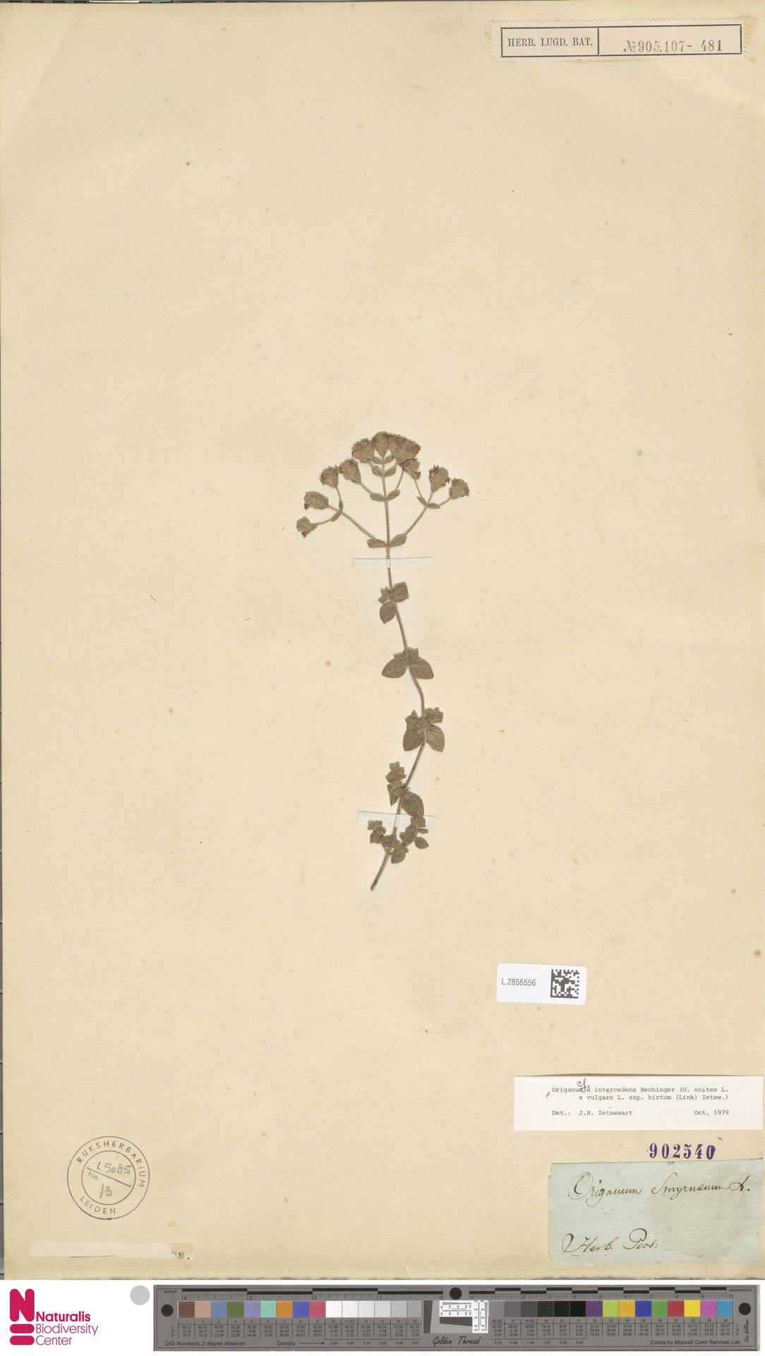 L.2856556 | Origanum onites L.