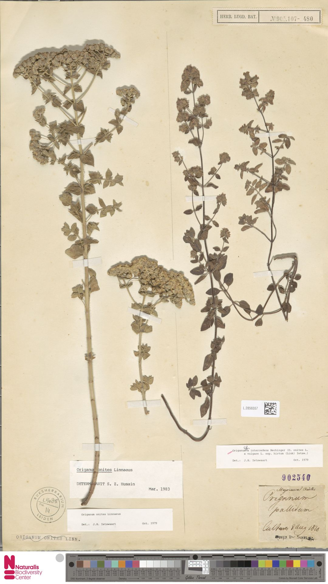 L.2856557 | Origanum onites L.