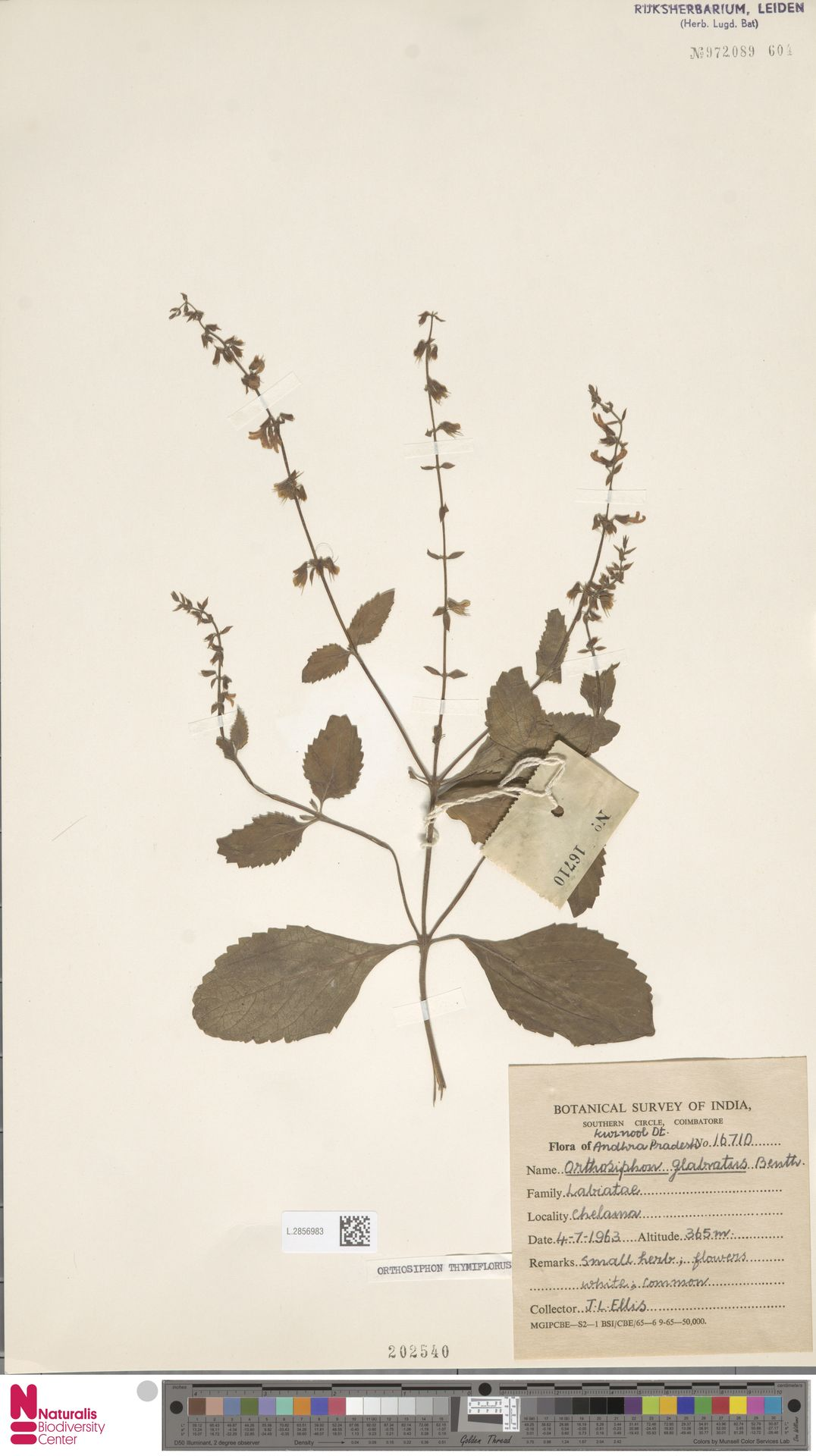 L.2856983 | Orthosiphon thymiflorus (Roth) Sleesen