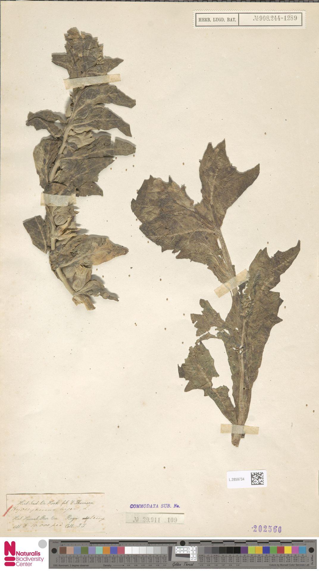 L.2859734   Hyoscyamus niger L.