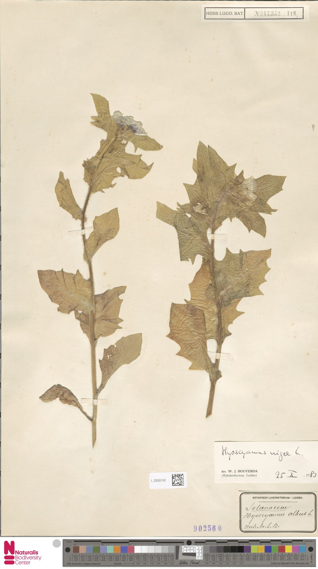 L.2859740 | Hyoscyamus niger L.