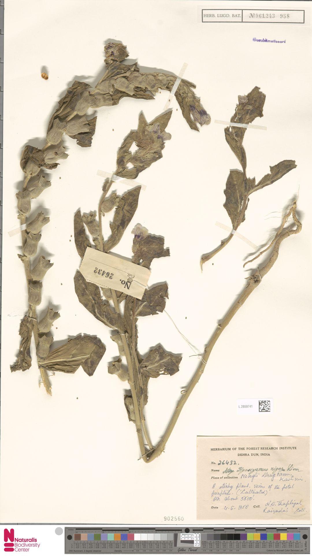 L.2859741   Hyoscyamus niger L.