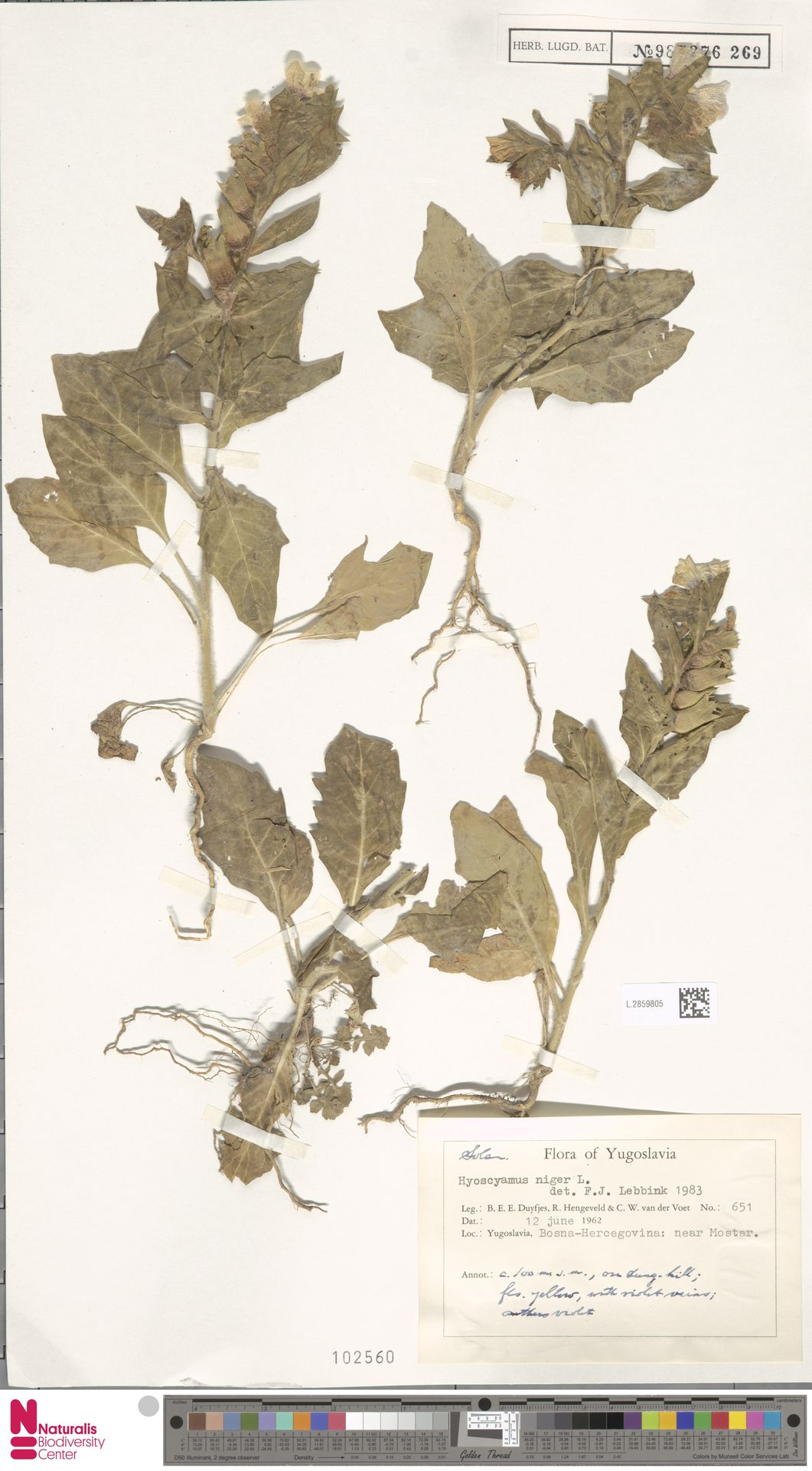 L.2859805 | Hyoscyamus niger L.