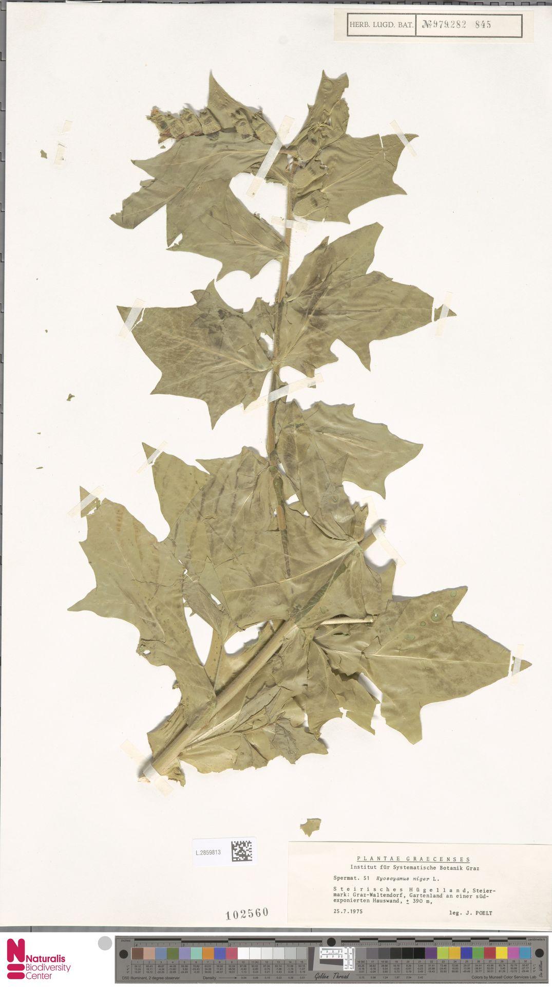 L.2859813   Hyoscyamus niger L.