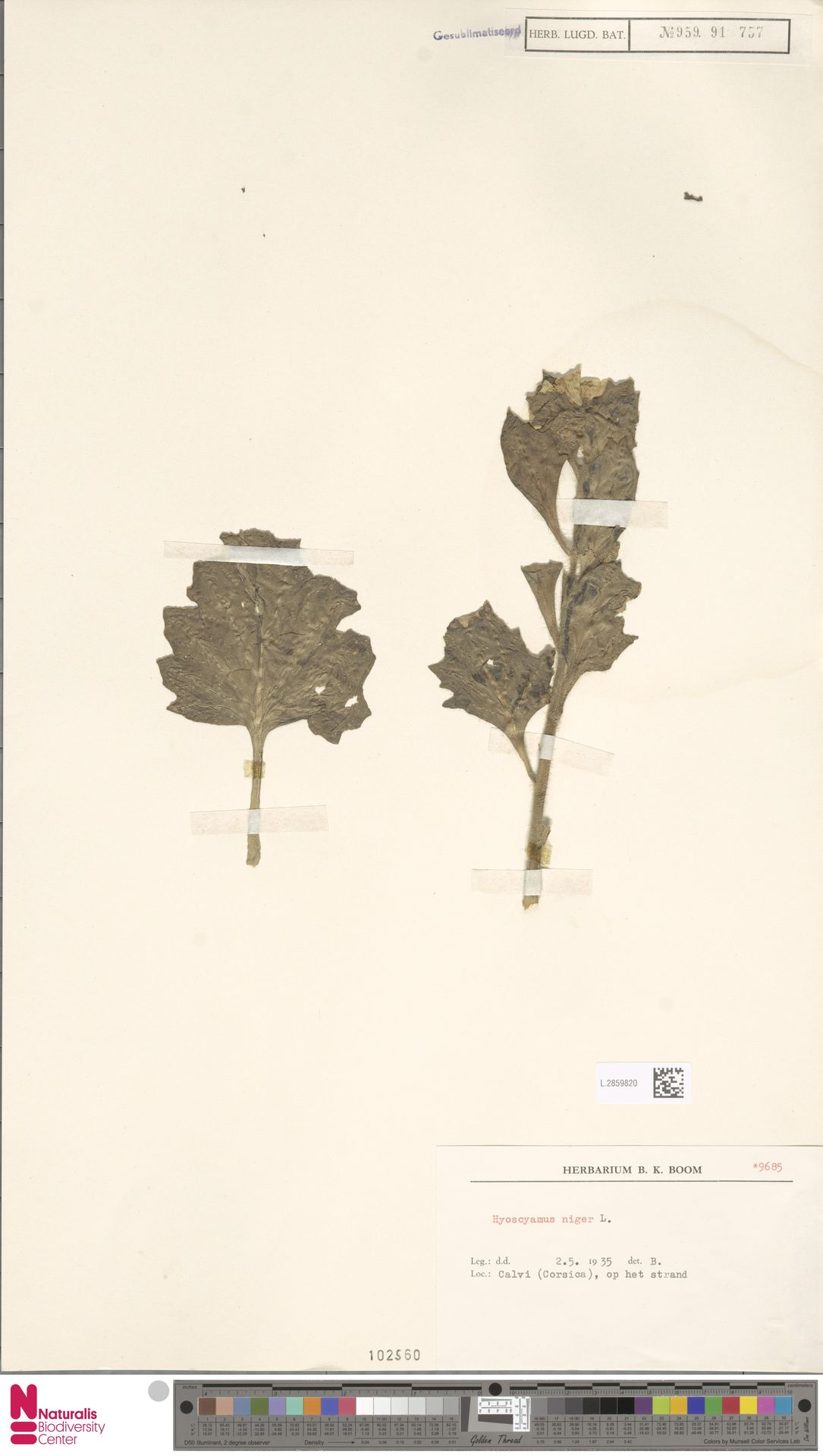 L.2859820   Hyoscyamus niger L.