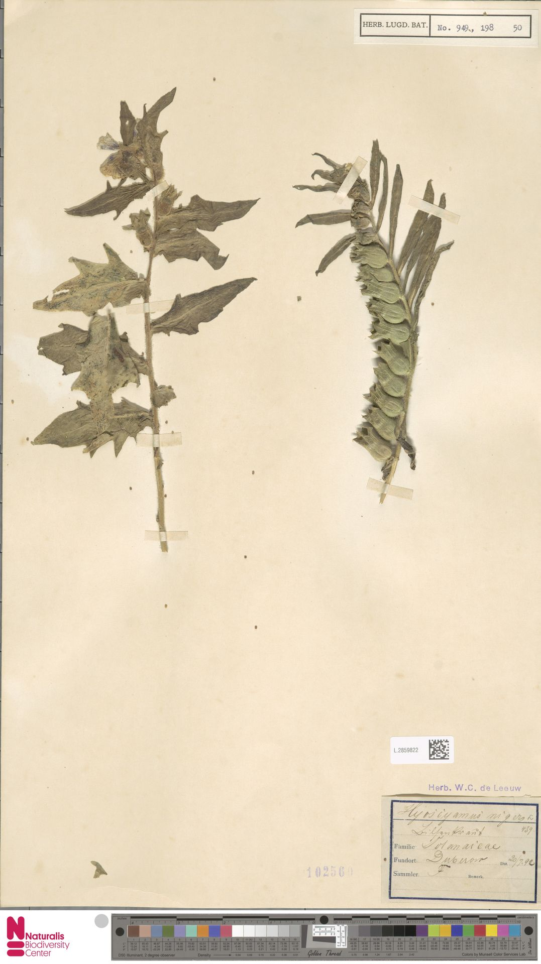L.2859822 | Hyoscyamus niger L.