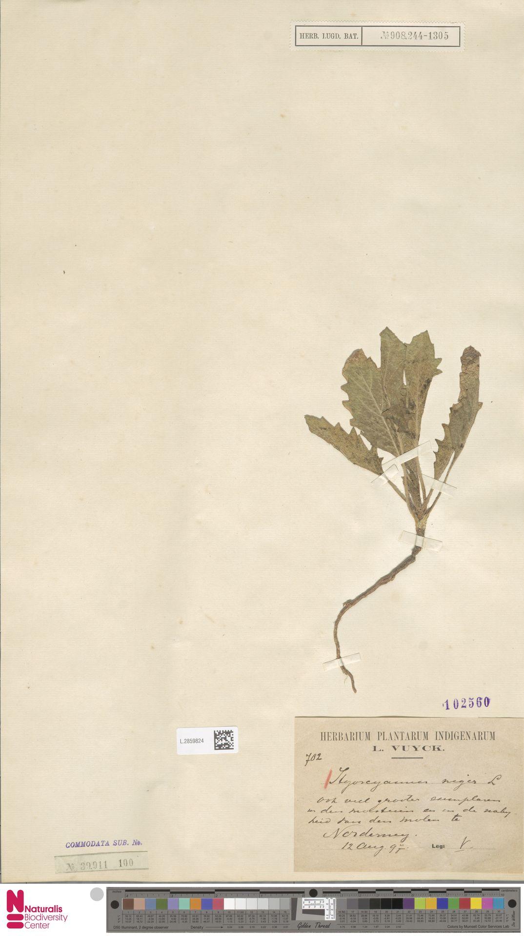 L.2859824 | Hyoscyamus niger L.