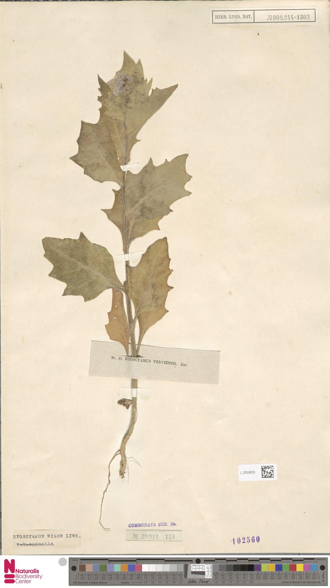 L.2859826 | Hyoscyamus niger L.