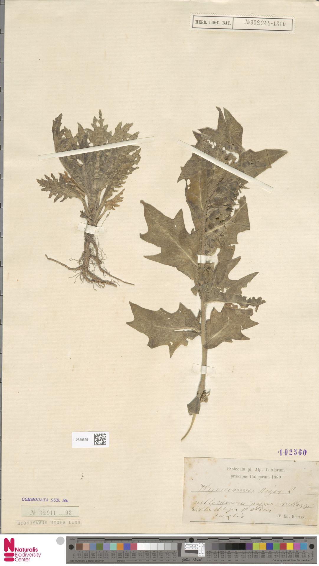 L.2859829   Hyoscyamus niger L.