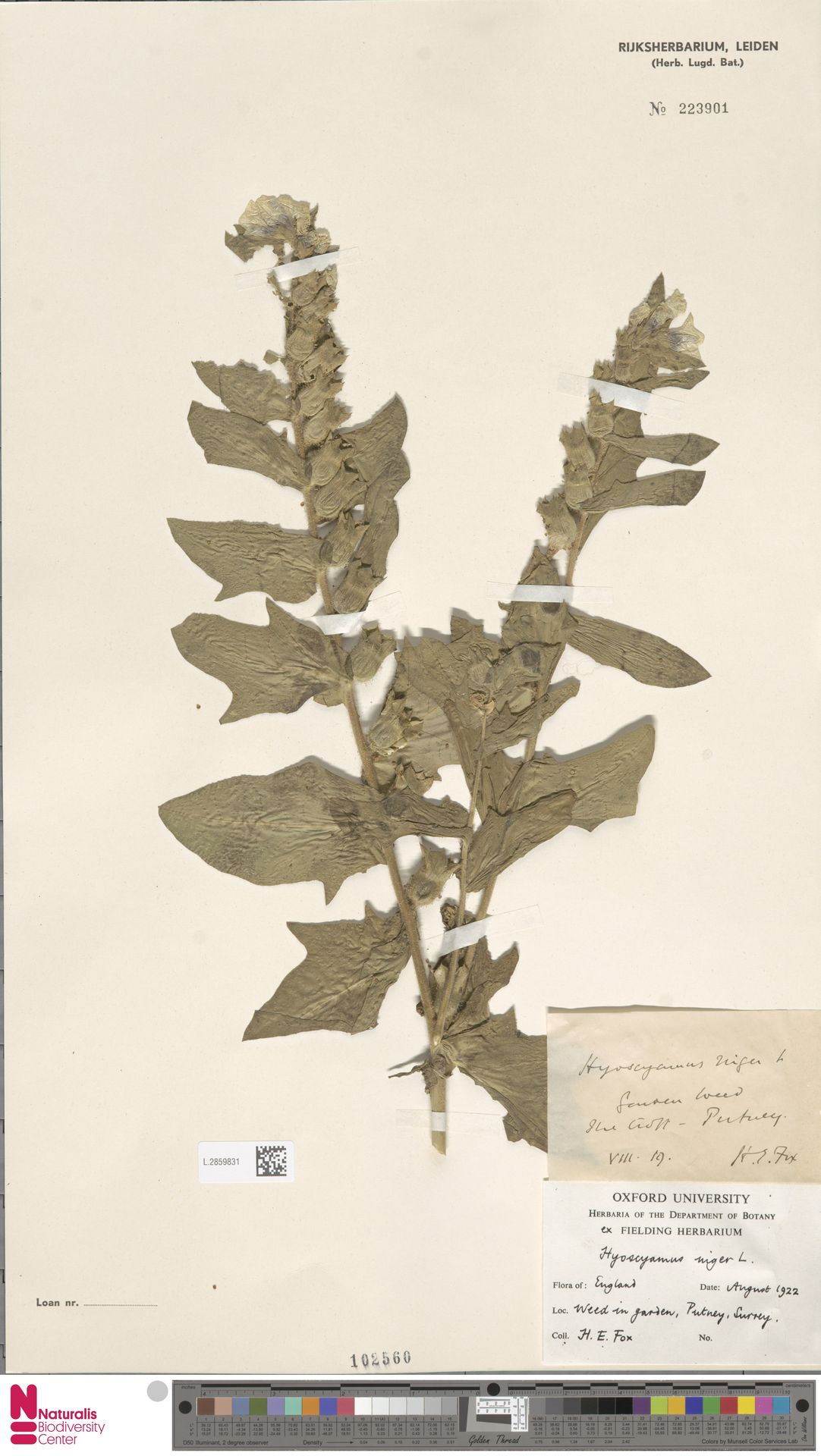 L.2859831 | Hyoscyamus niger L.