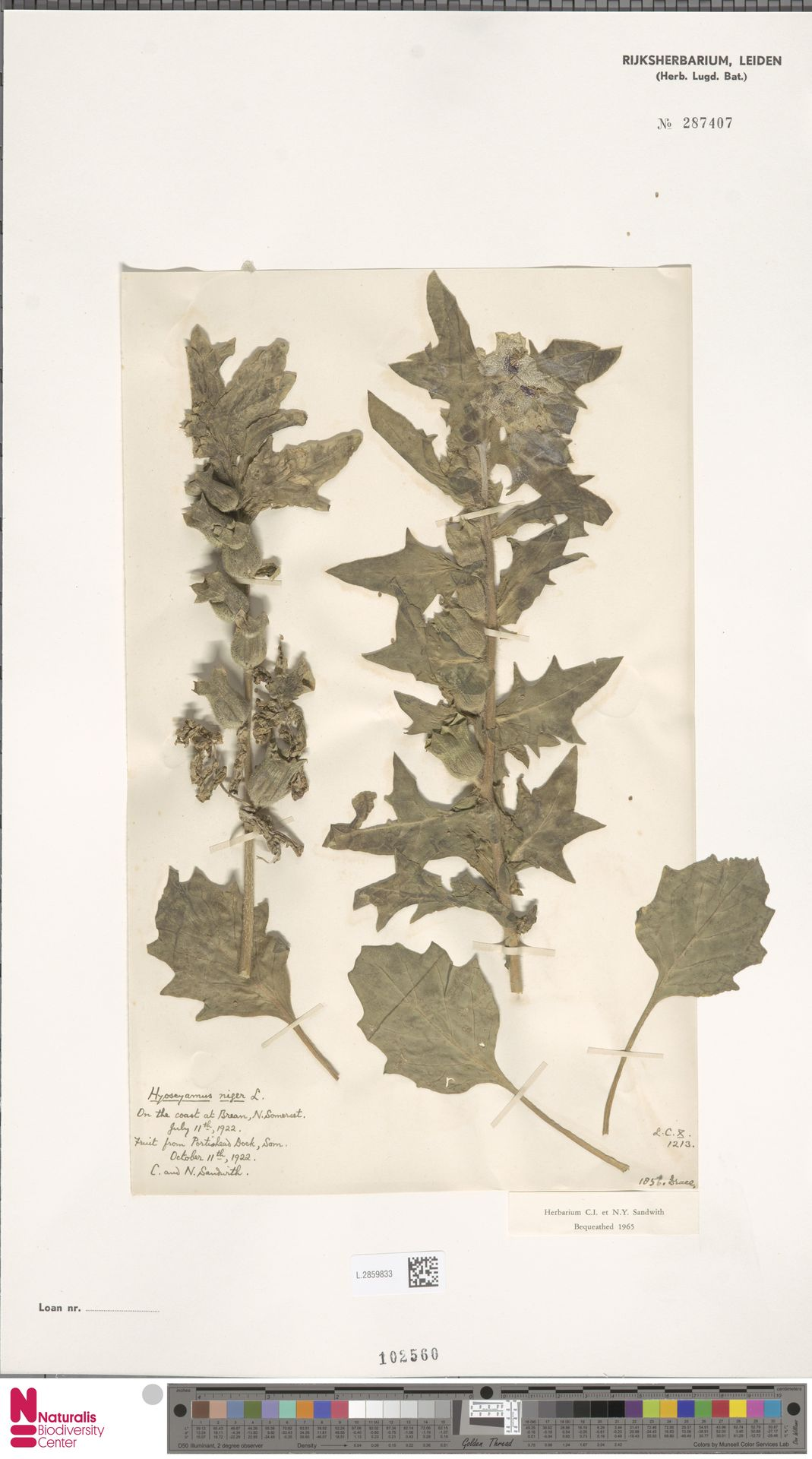 L.2859833   Hyoscyamus niger L.