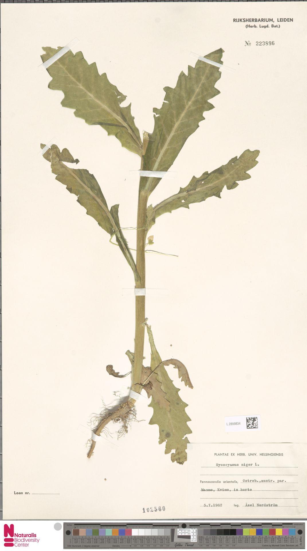 L.2859834 | Hyoscyamus niger L.