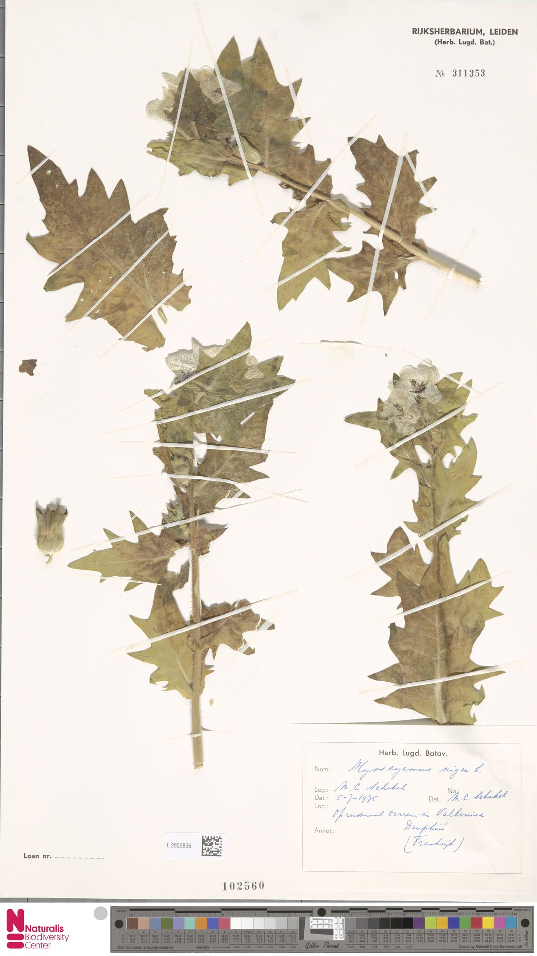 L.2859836 | Hyoscyamus niger L.