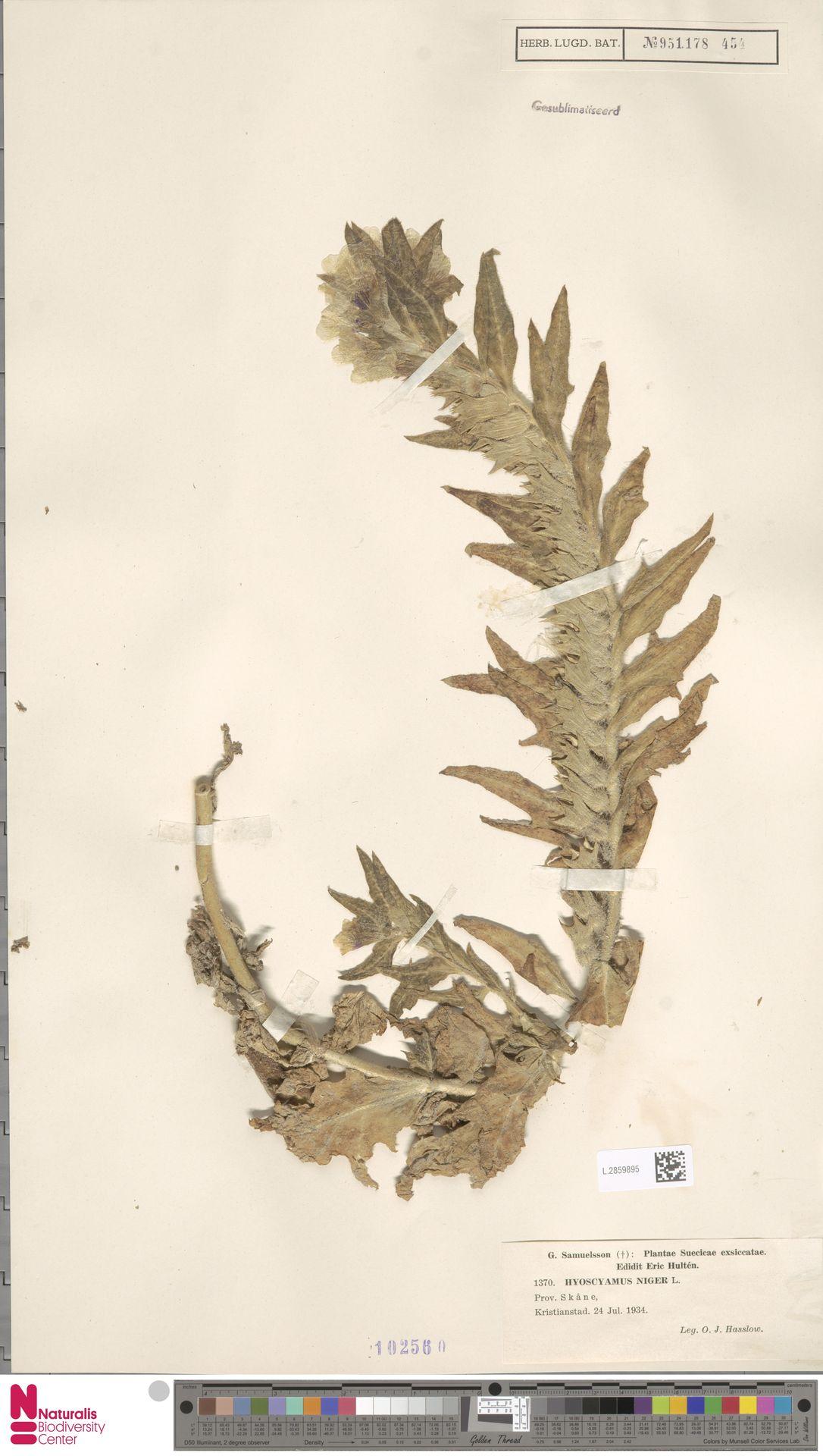 L.2859895 | Hyoscyamus niger L.