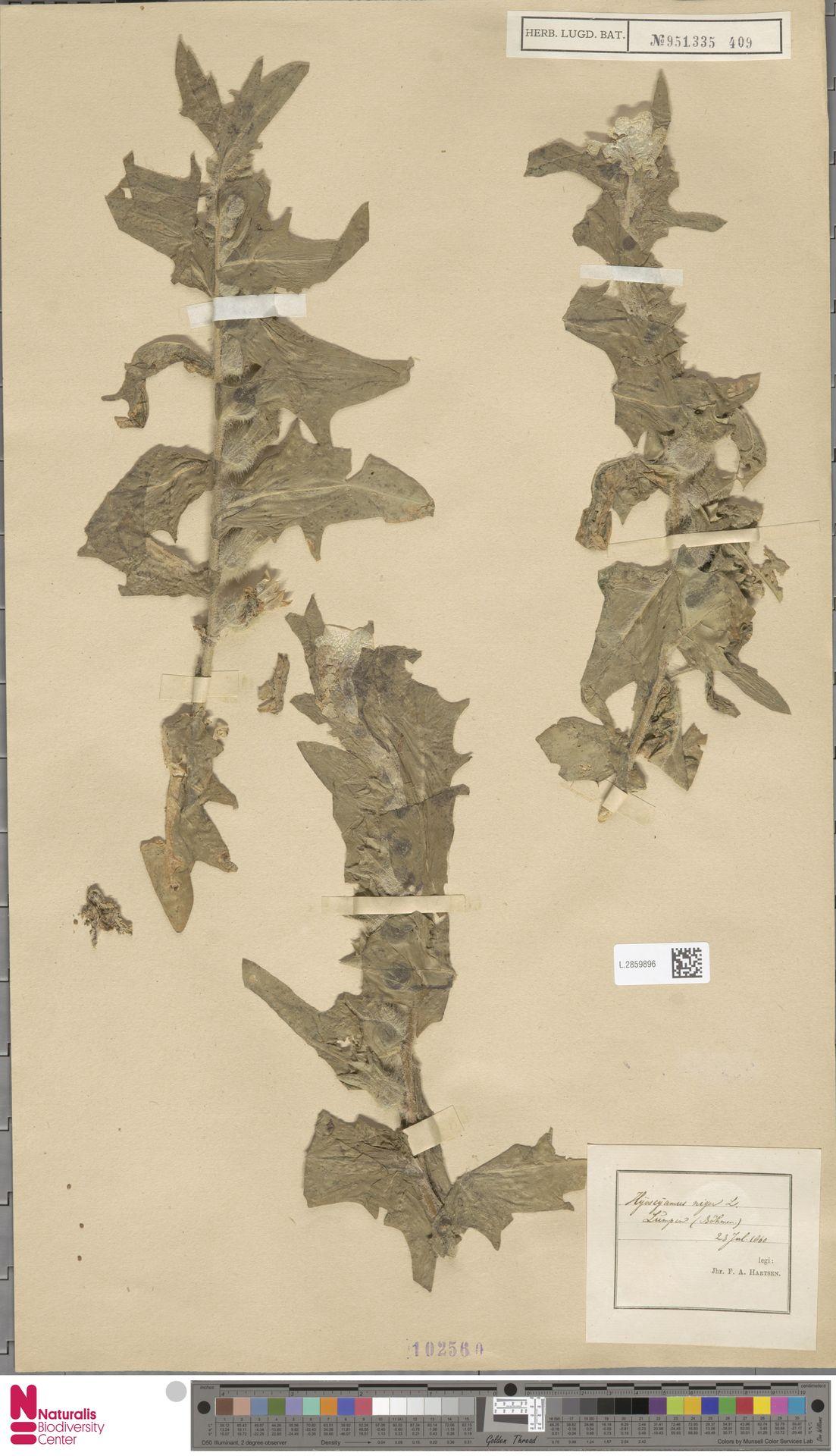 L.2859896 | Hyoscyamus niger L.