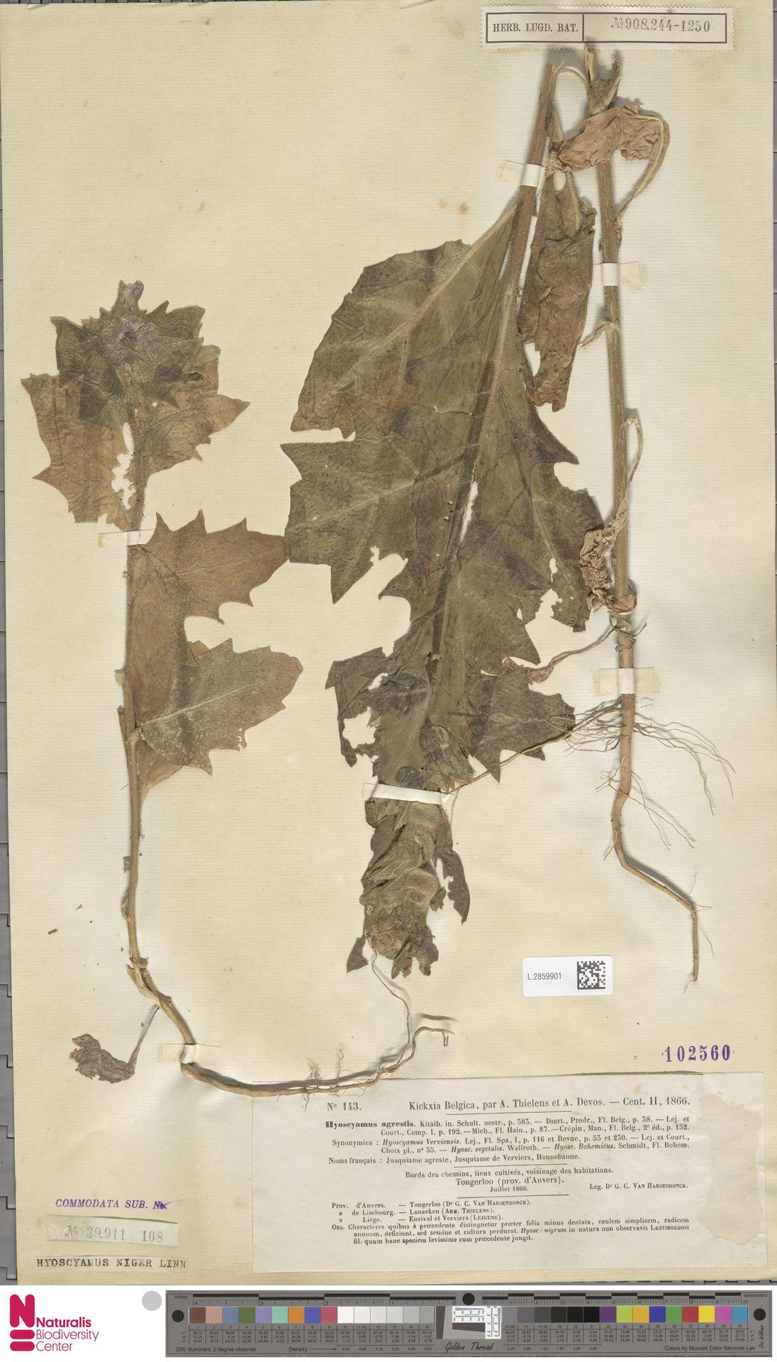 L.2859901 | Hyoscyamus niger L.