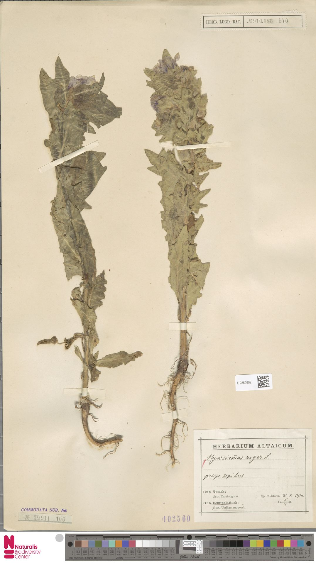 L.2859902 | Hyoscyamus niger L.