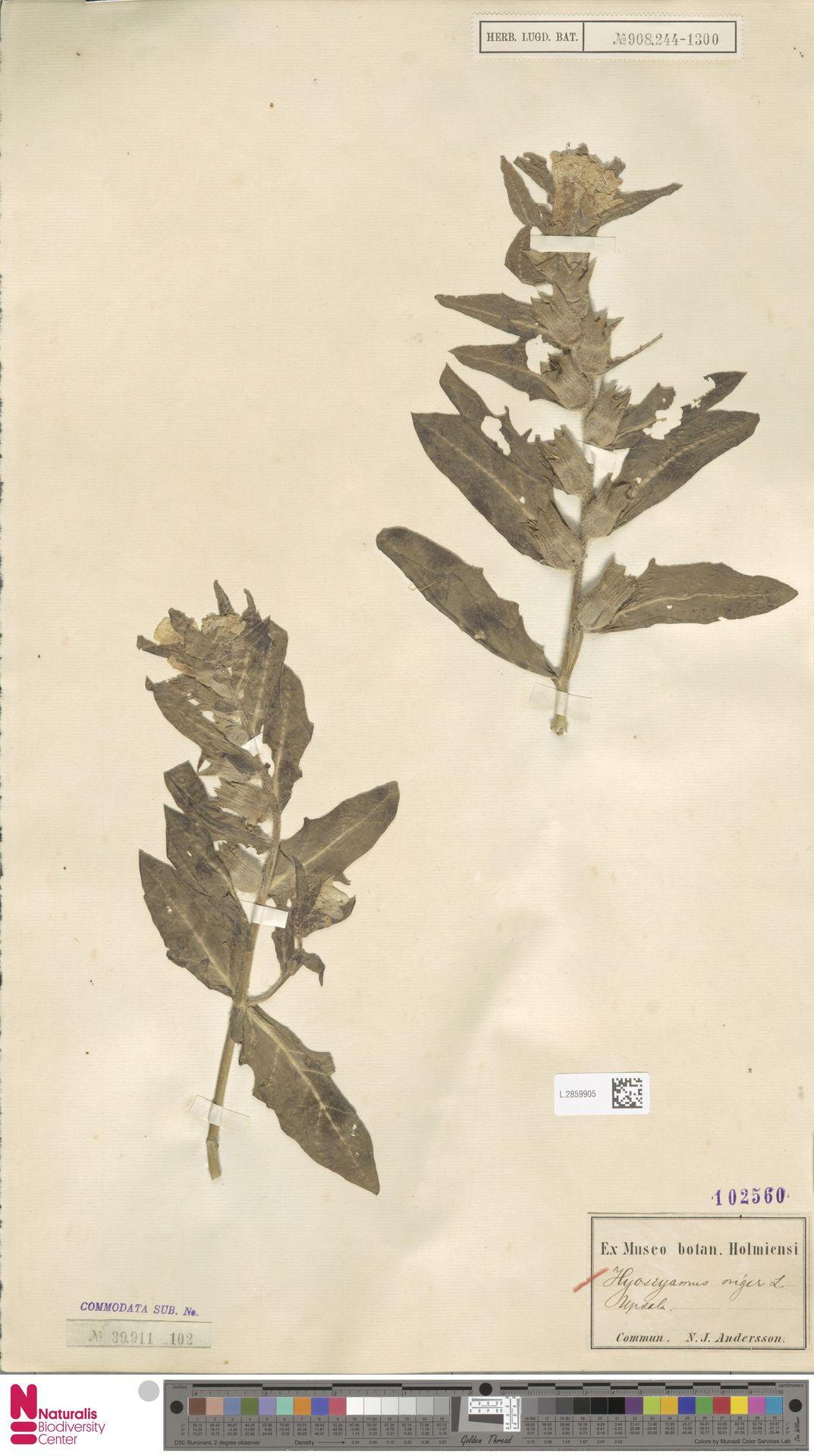 L.2859905 | Hyoscyamus niger L.