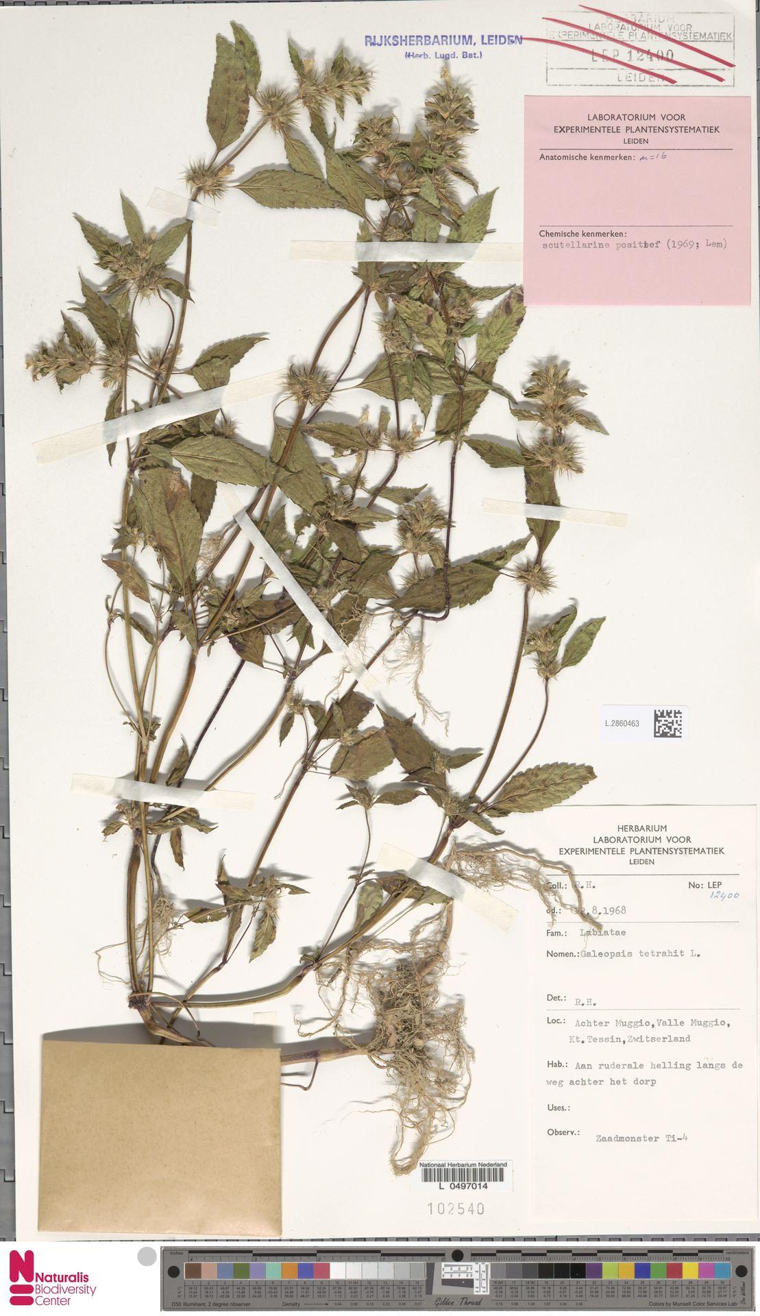 L.2860463   Galeopsis tetrahit L.