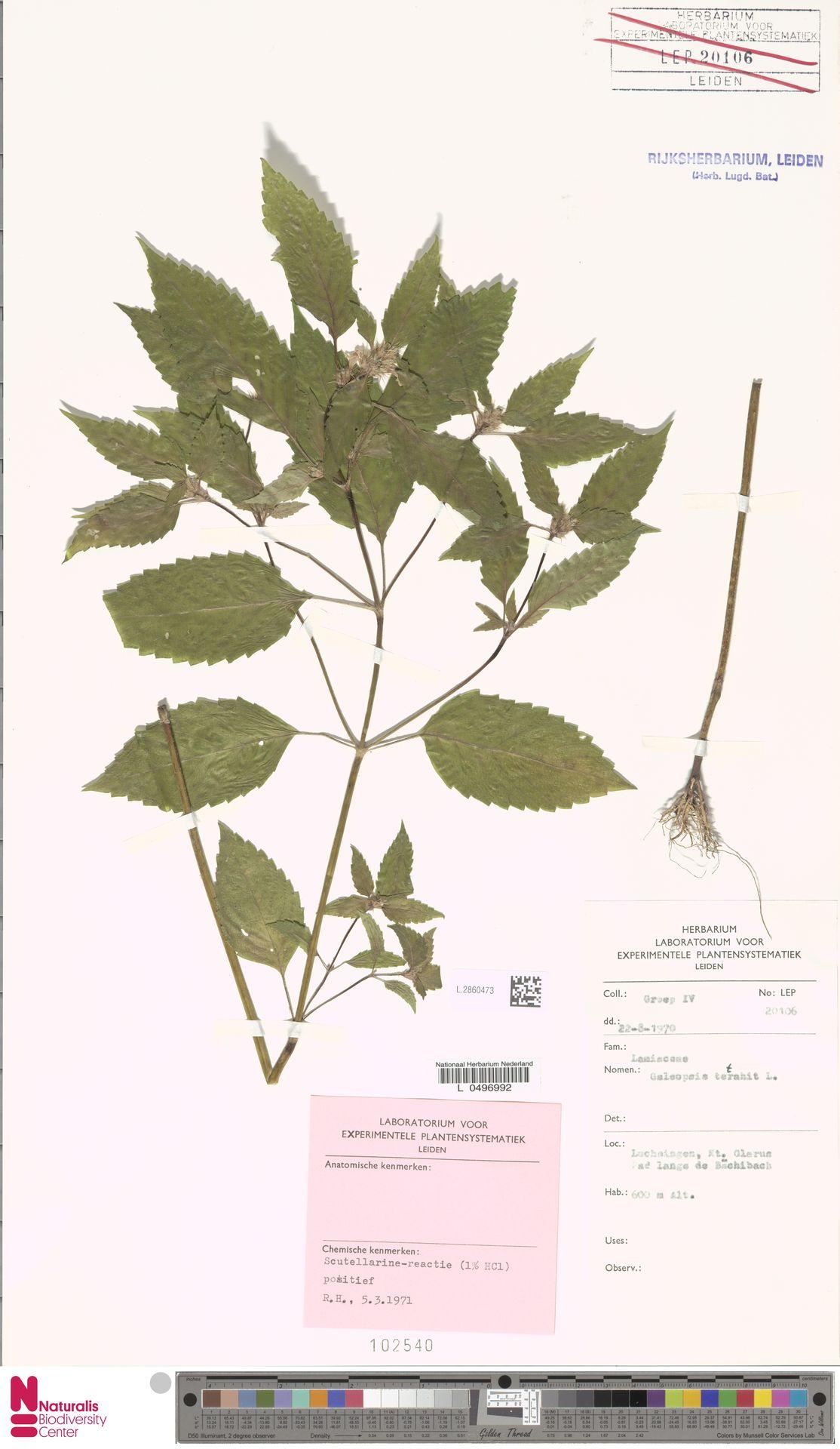 L.2860473 | Galeopsis tetrahit L.
