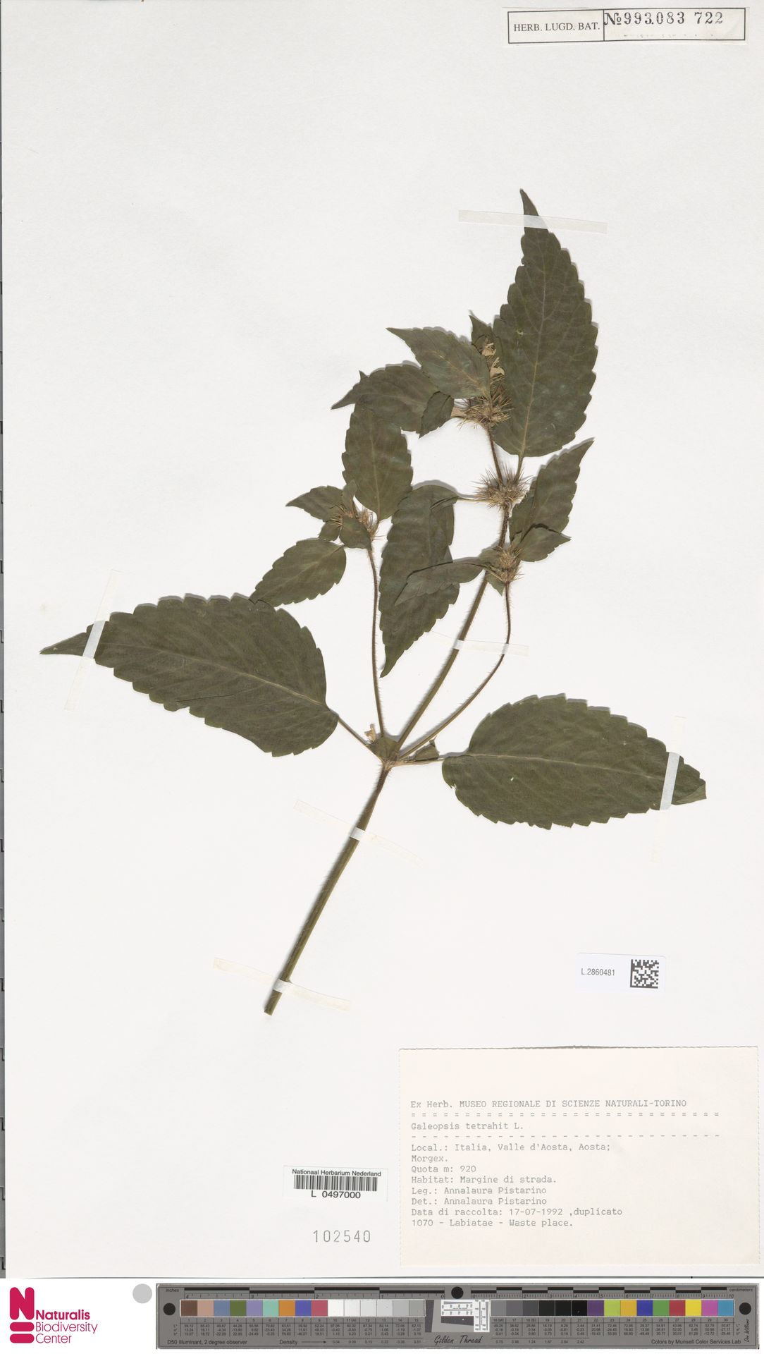 L.2860481   Galeopsis tetrahit L.