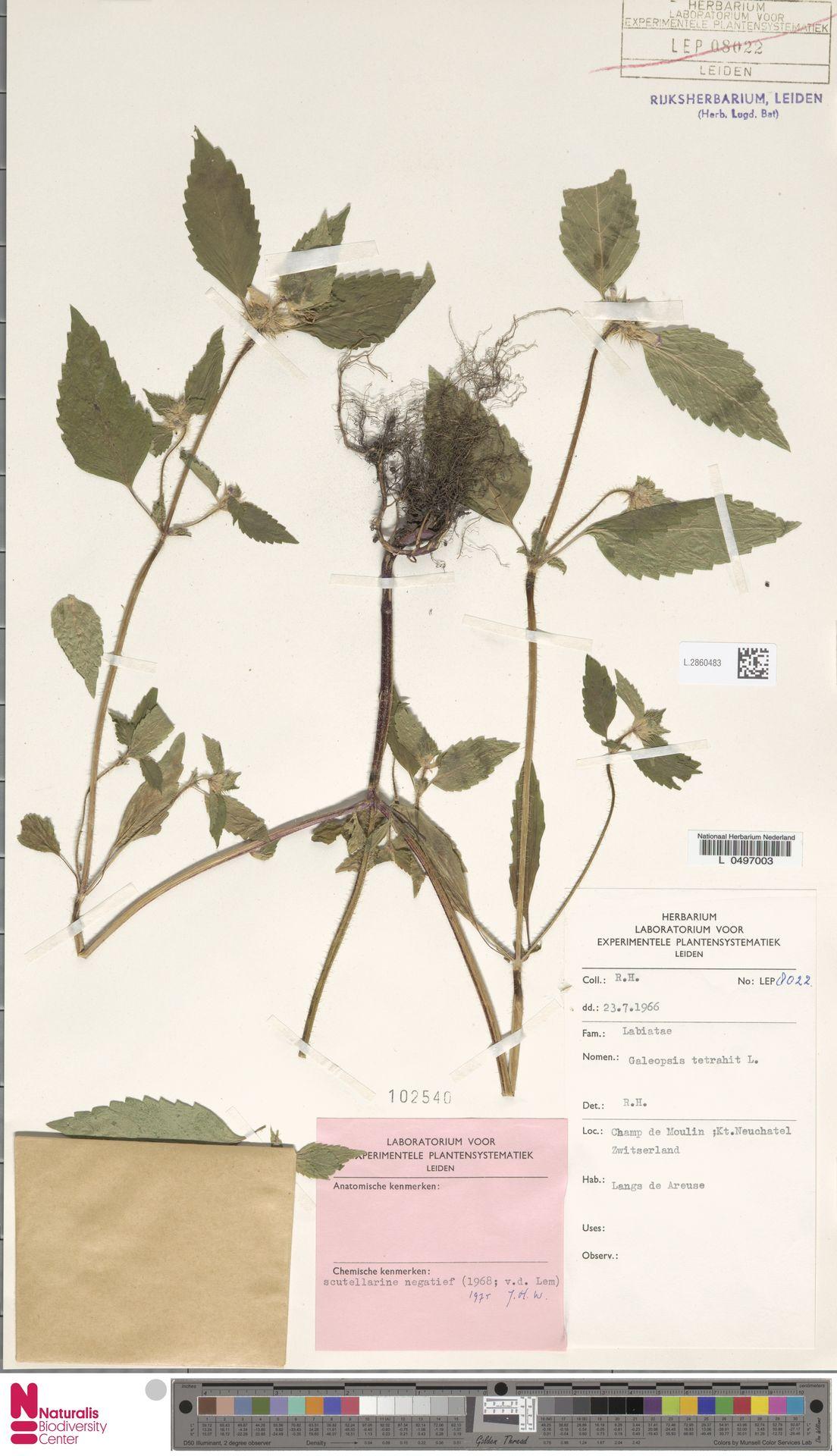 L.2860483 | Galeopsis tetrahit L.