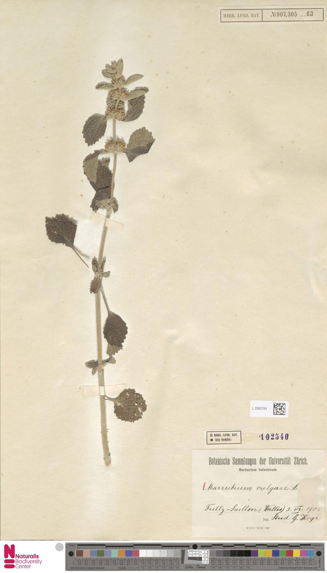 L.2860764 | Marrubium vulgare L.