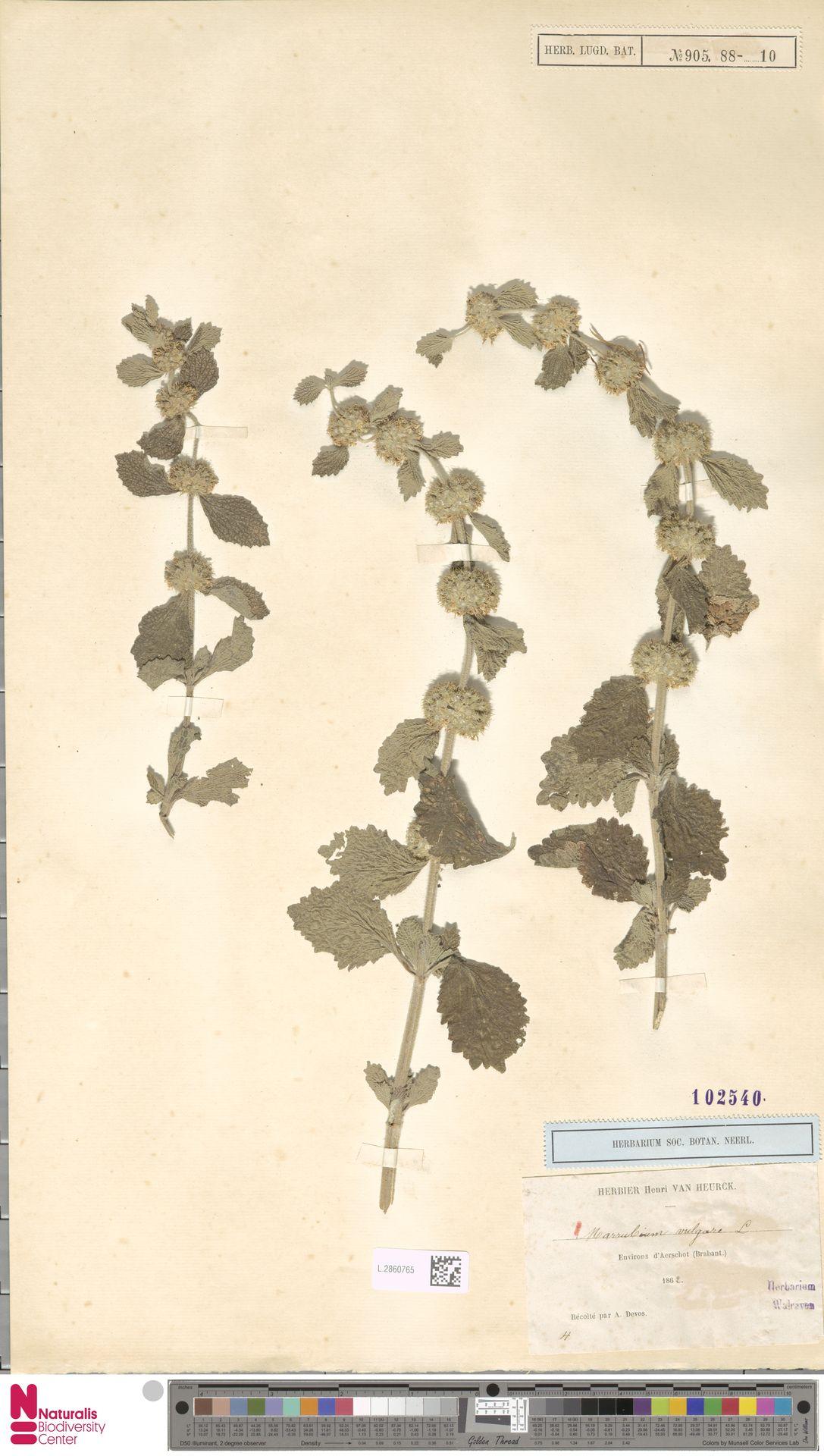 L.2860765 | Marrubium vulgare L.