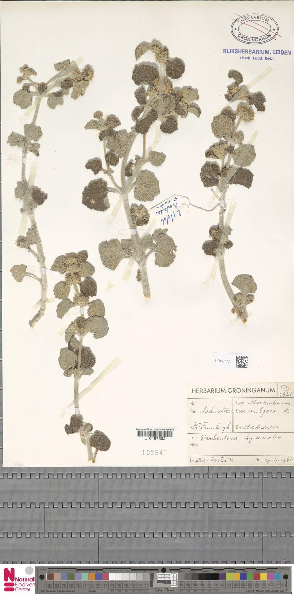 L.2860775 | Marrubium vulgare L.