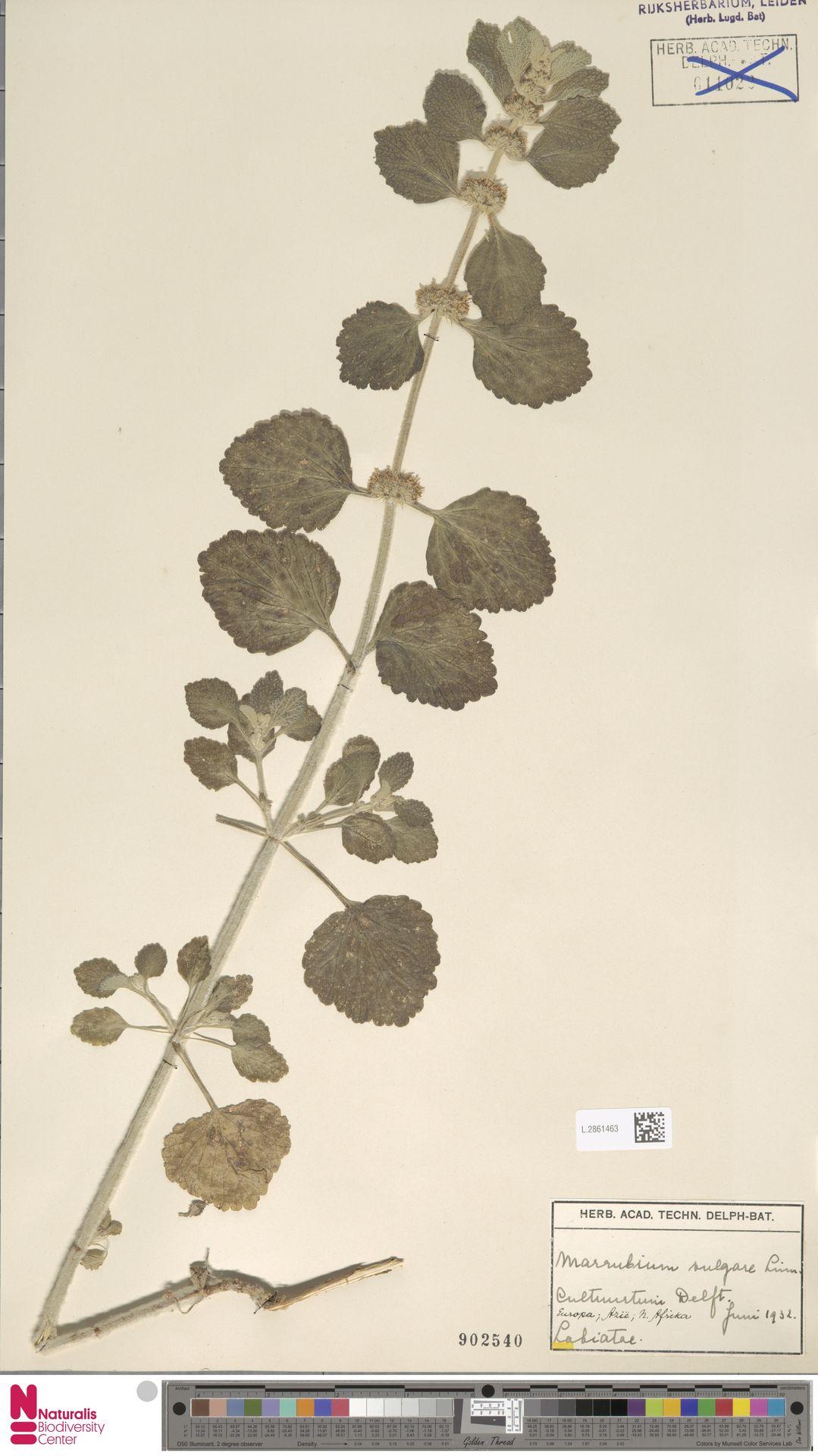 L.2861463 | Marrubium vulgare L.