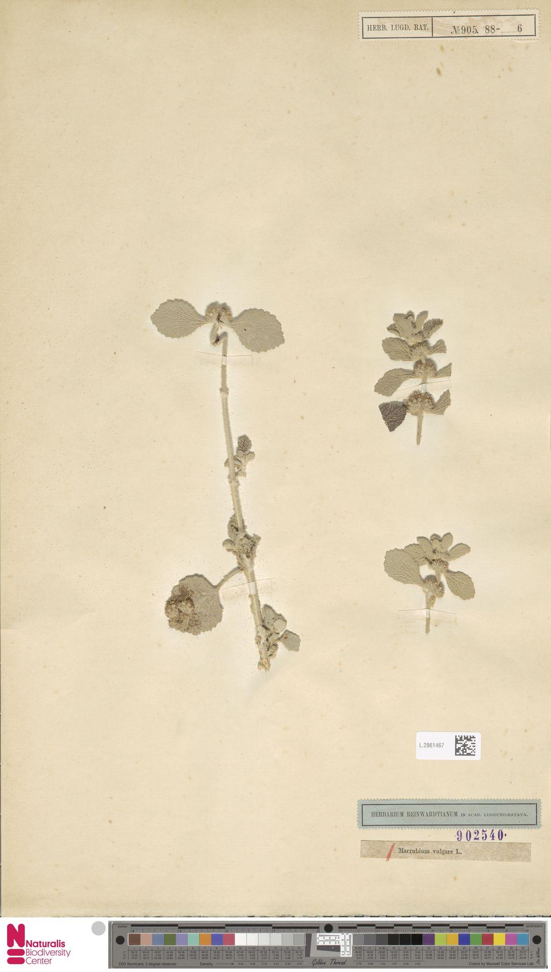 L.2861467 | Marrubium vulgare L.