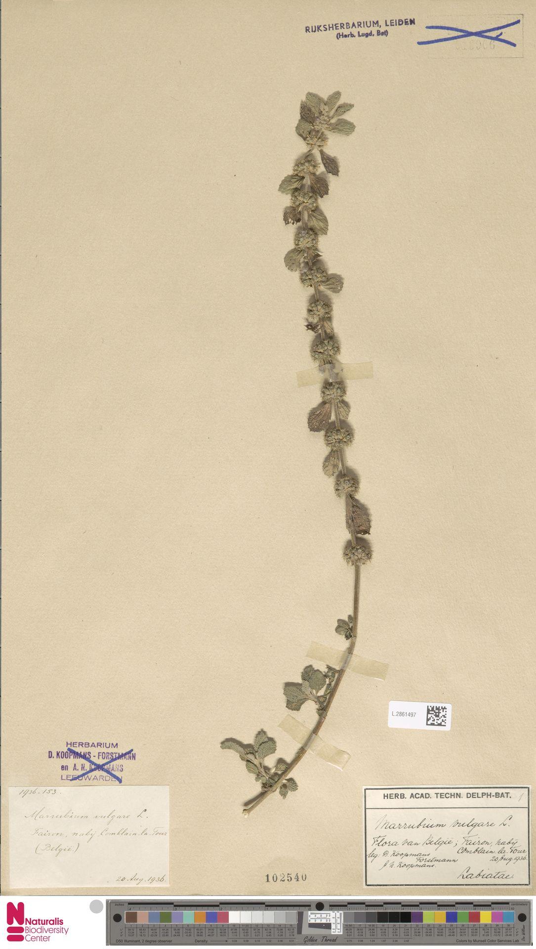 L.2861497 | Marrubium vulgare L.