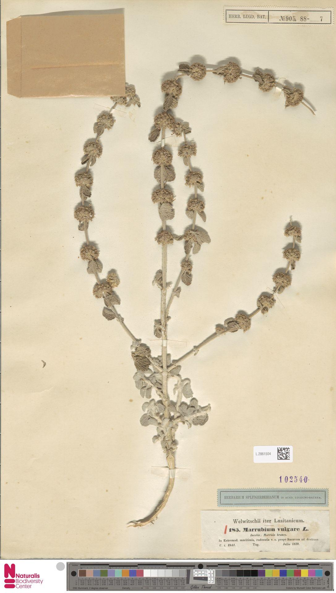 L.2861504 | Marrubium vulgare L.