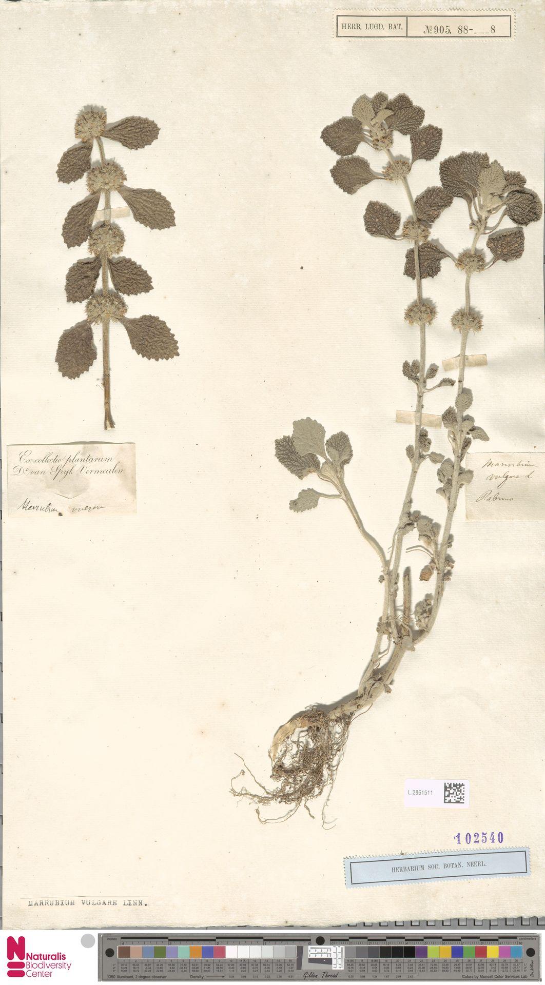 L.2861511 | Marrubium vulgare L.